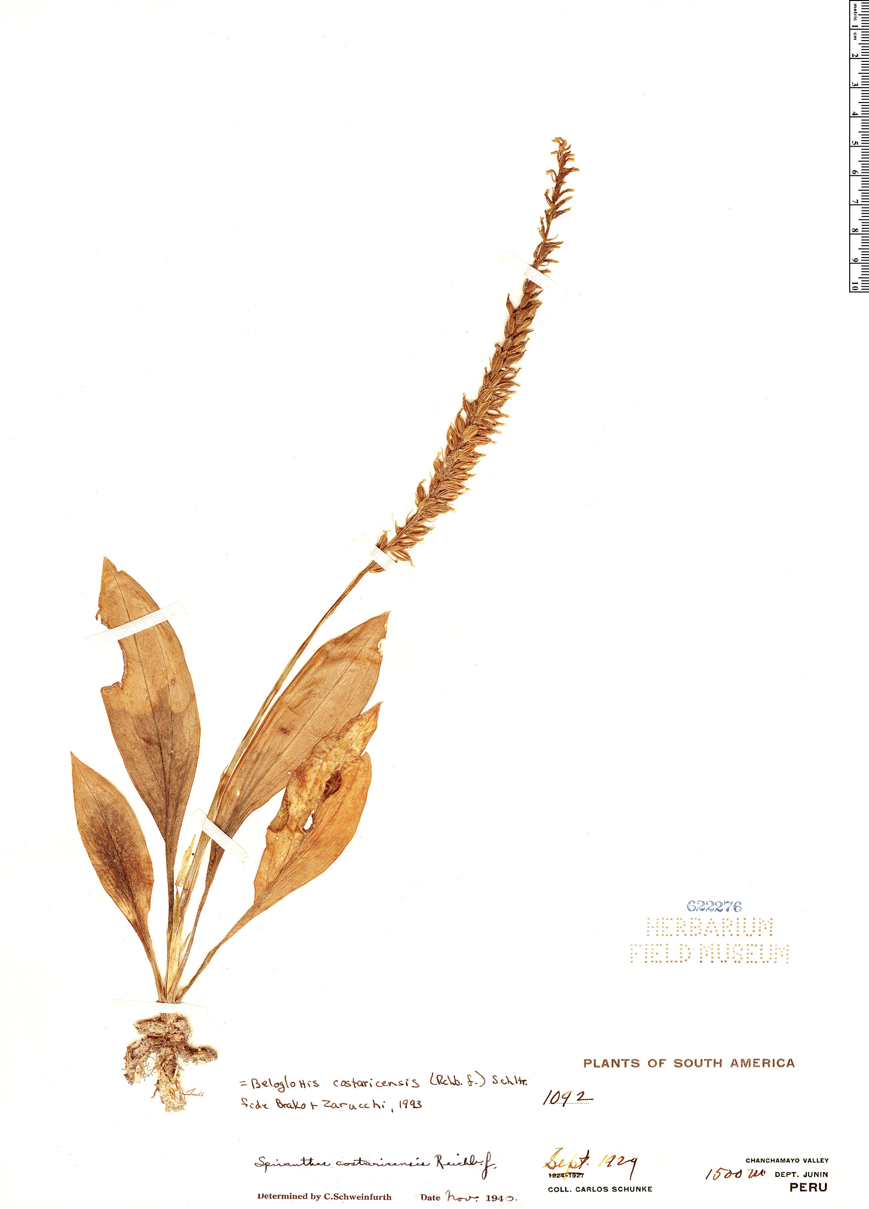 Specimen: Beloglottis costaricensis