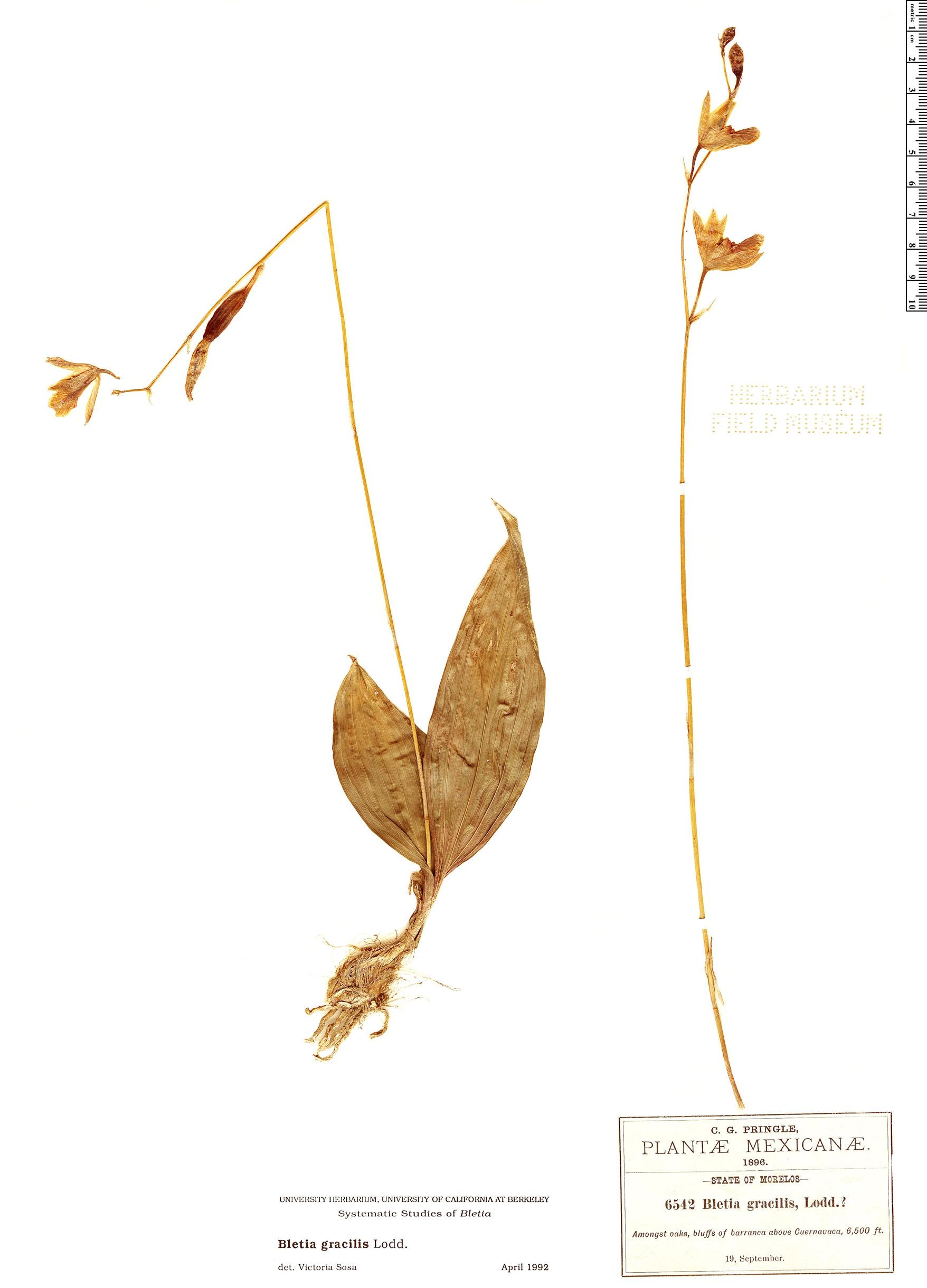 Specimen: Bletia gracilis