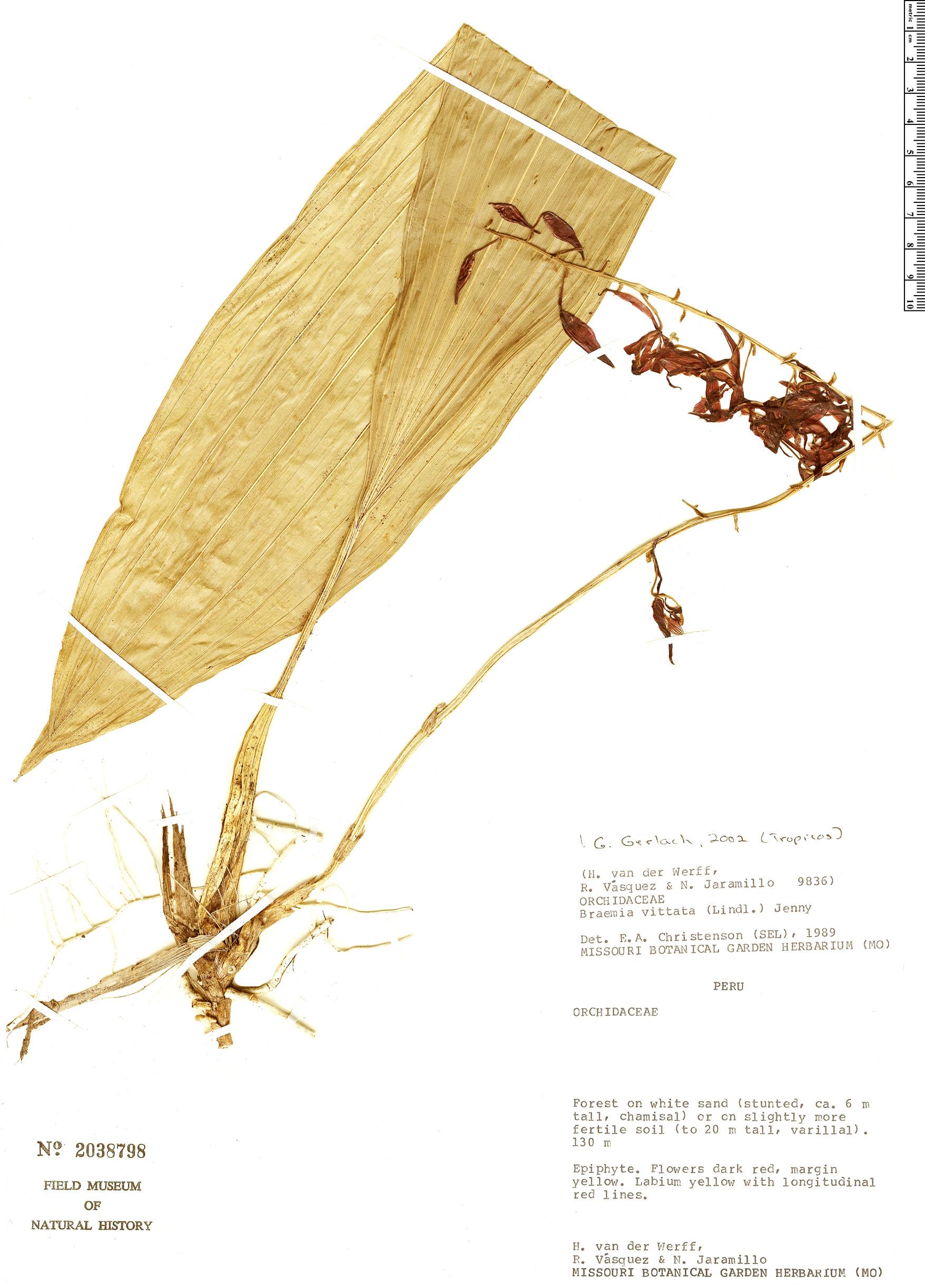 Specimen: Braemia vittata