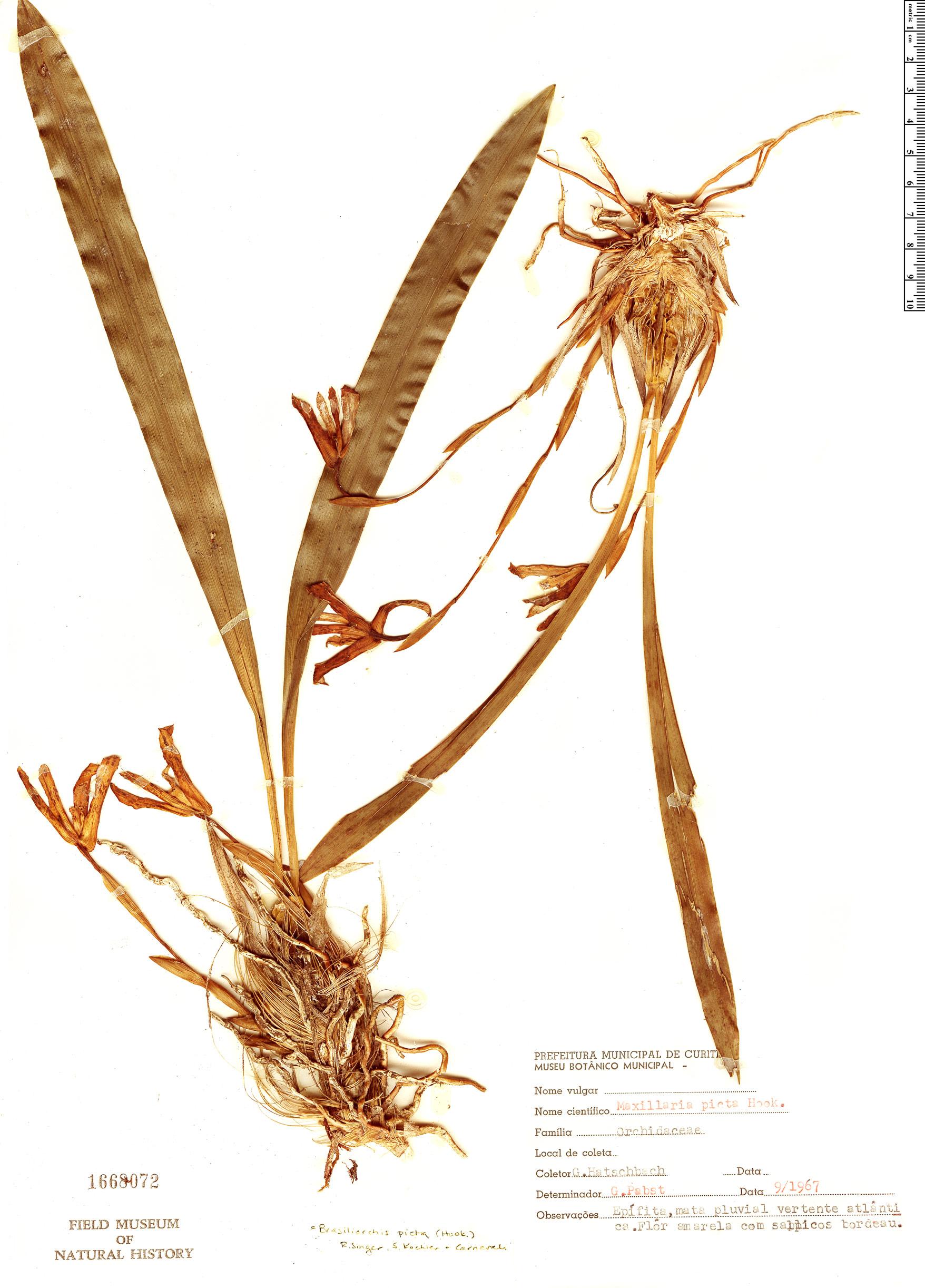 Specimen: Maxillaria picta