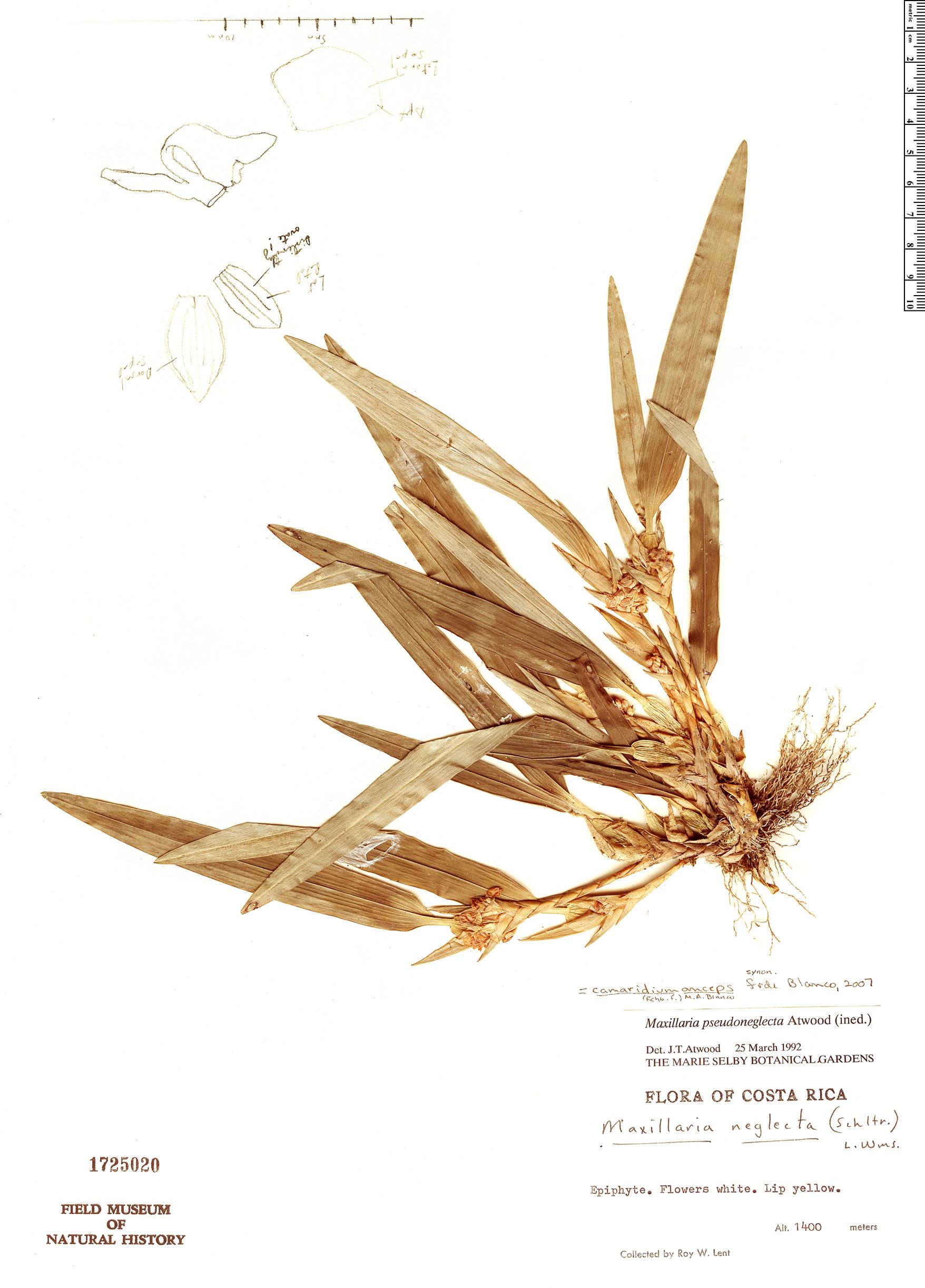 Espécime: Maxillaria pseudoneglecta