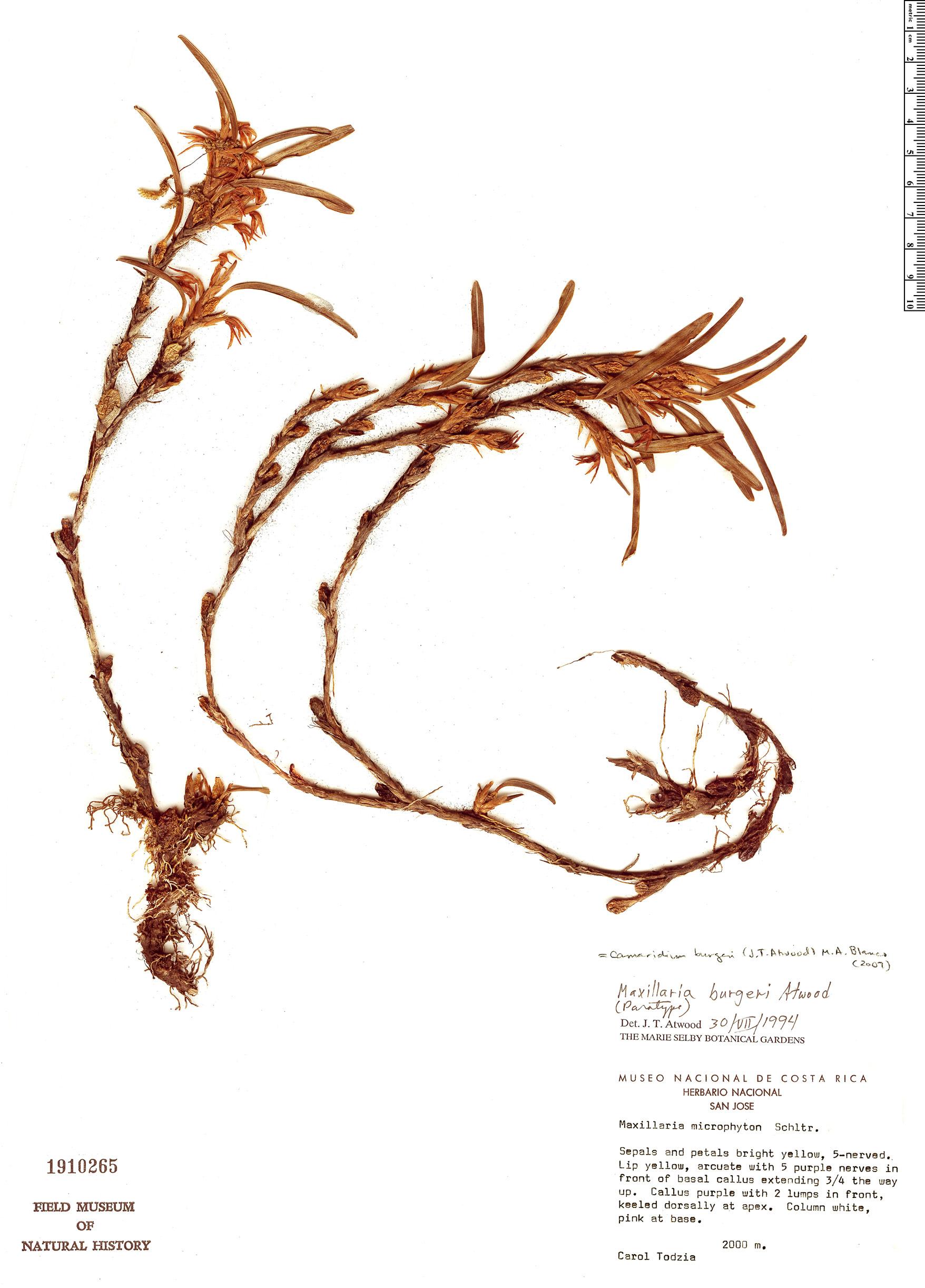 Espécimen: Maxillaria burgeri