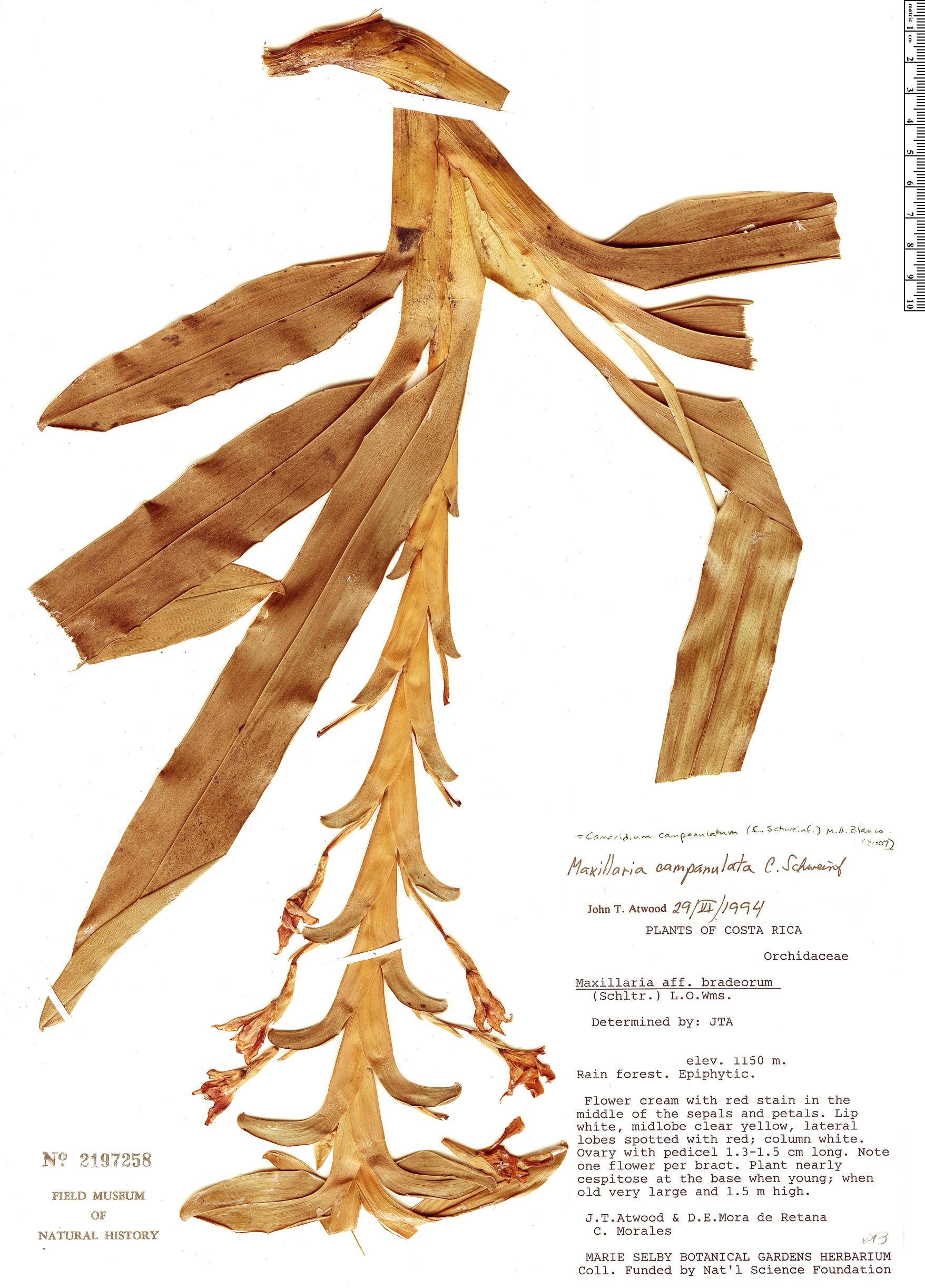 Specimen: Maxillaria campanulata