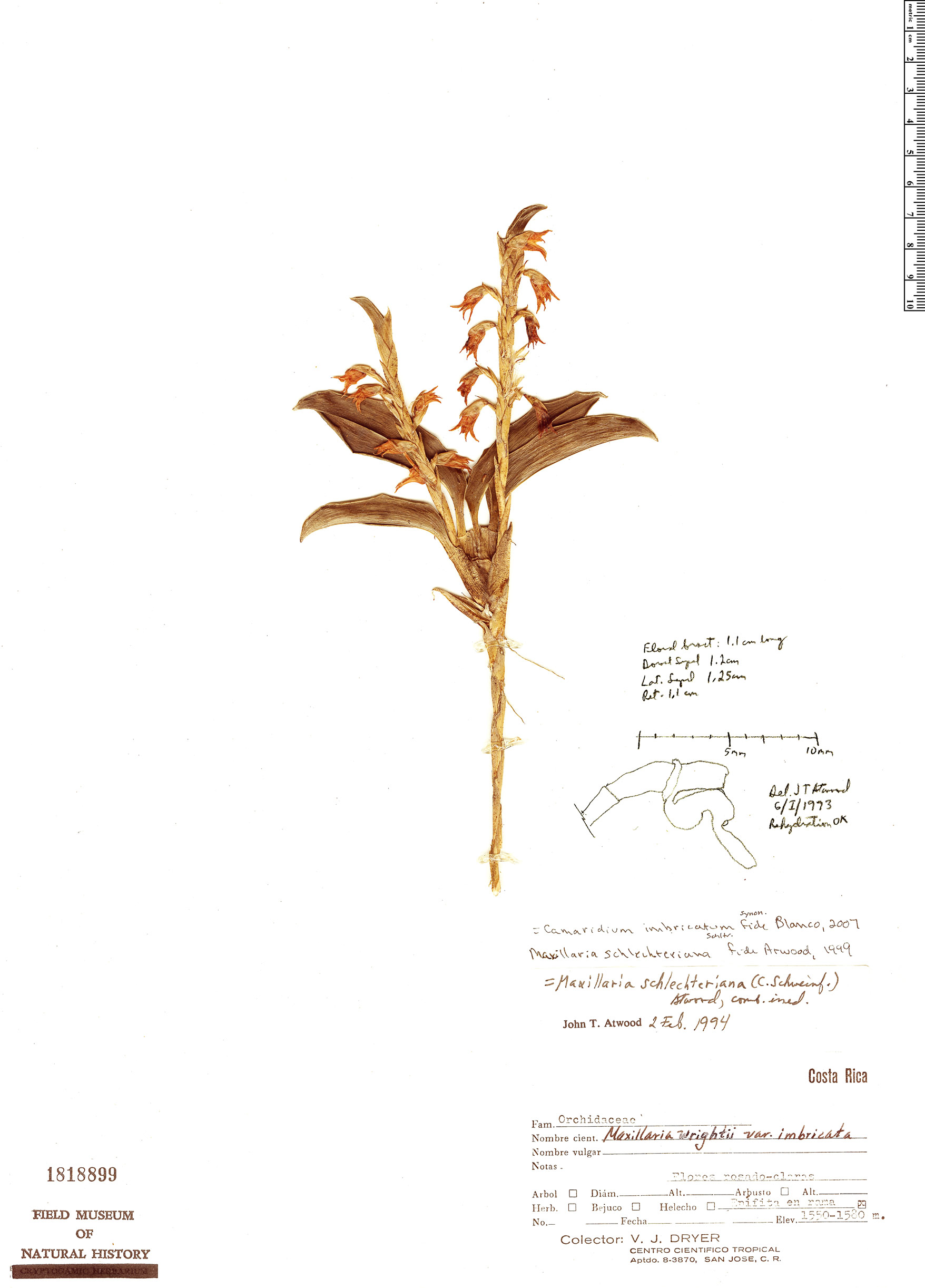 Espécimen: Maxillaria schlechteriana