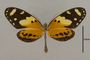 125647 Melinaea ludovica paraiya d IN