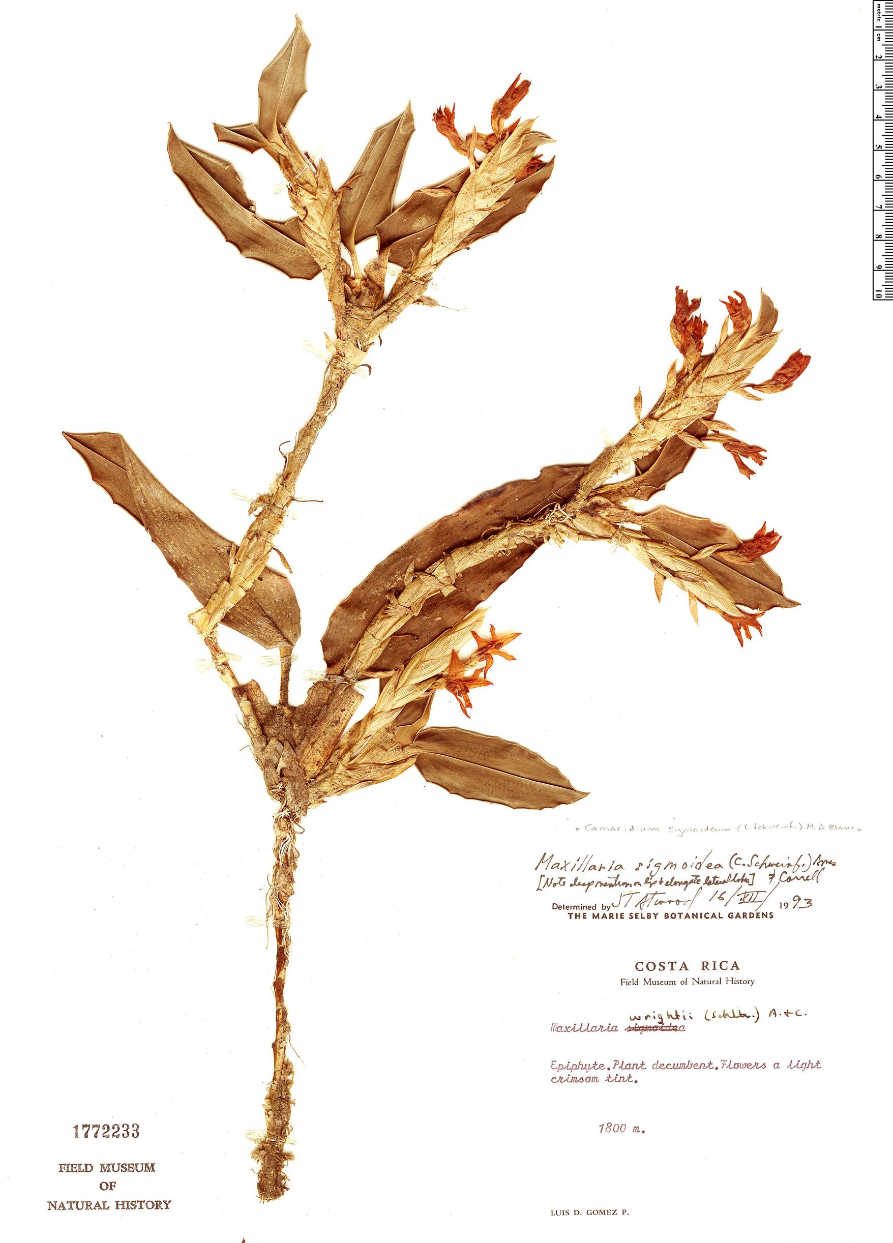Specimen: Maxillaria sigmoidea