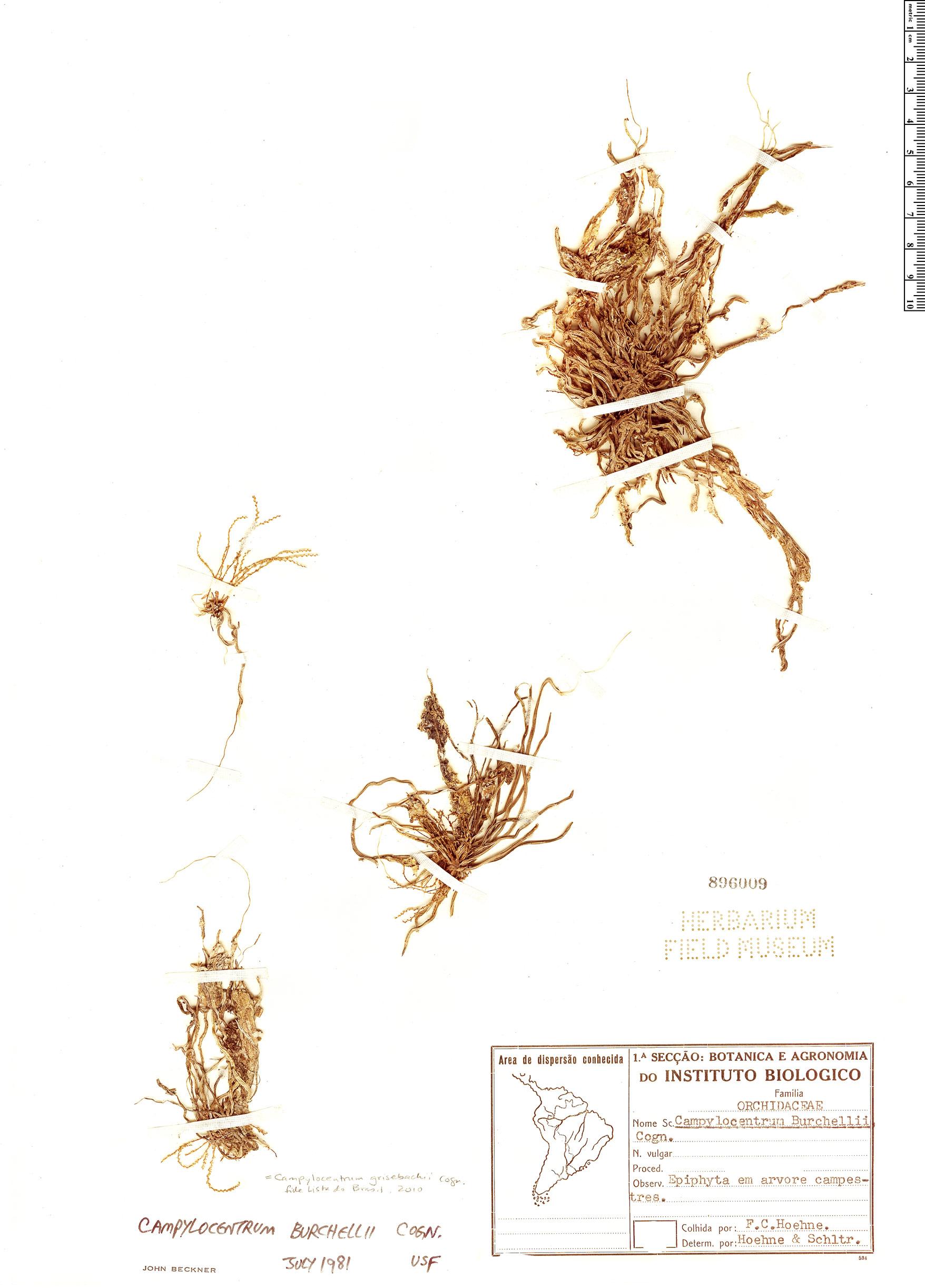 Specimen: Campylocentrum grisebachii