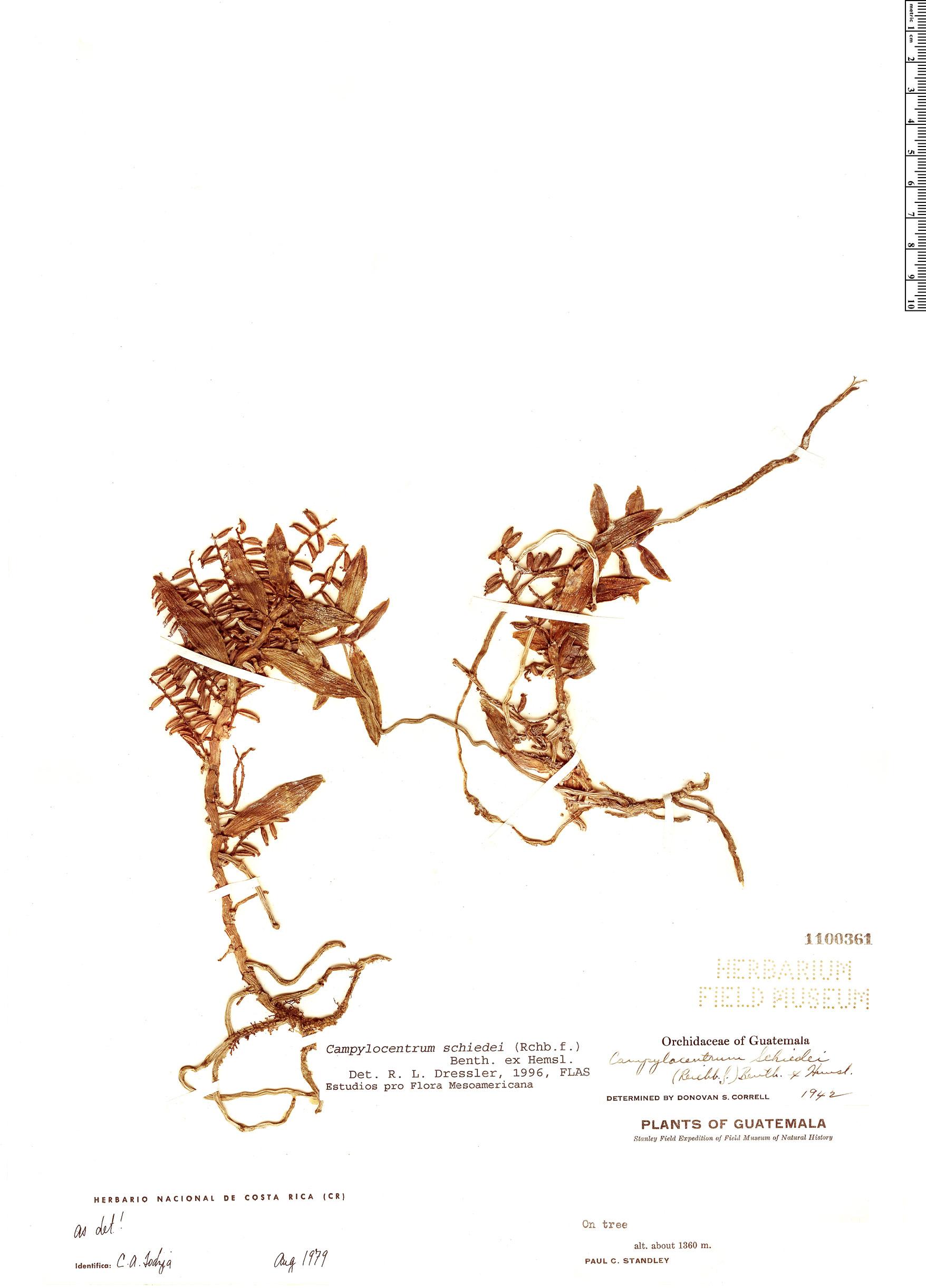 Specimen: Campylocentrum schiedei