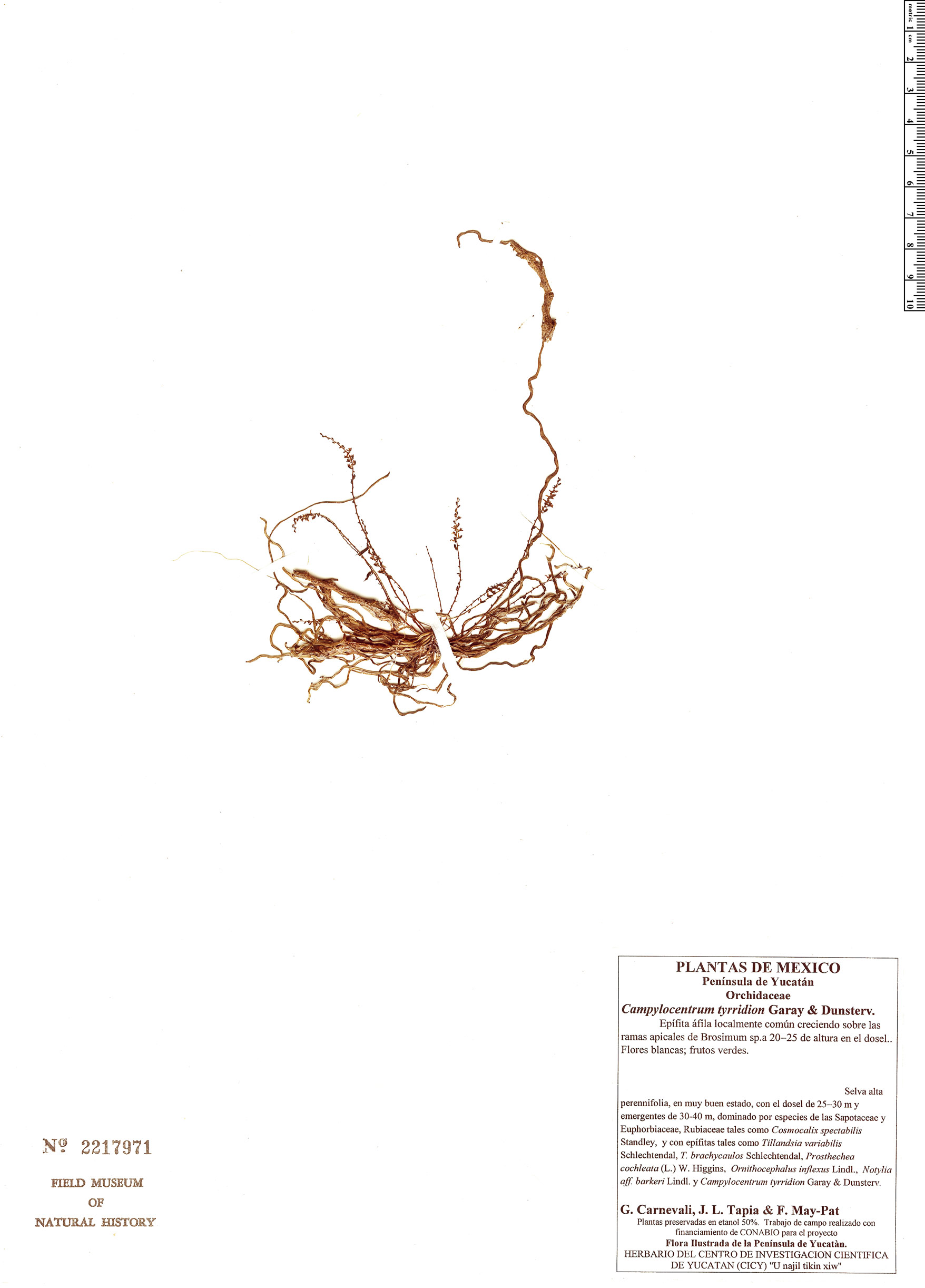 Specimen: Campylocentrum tyrridion