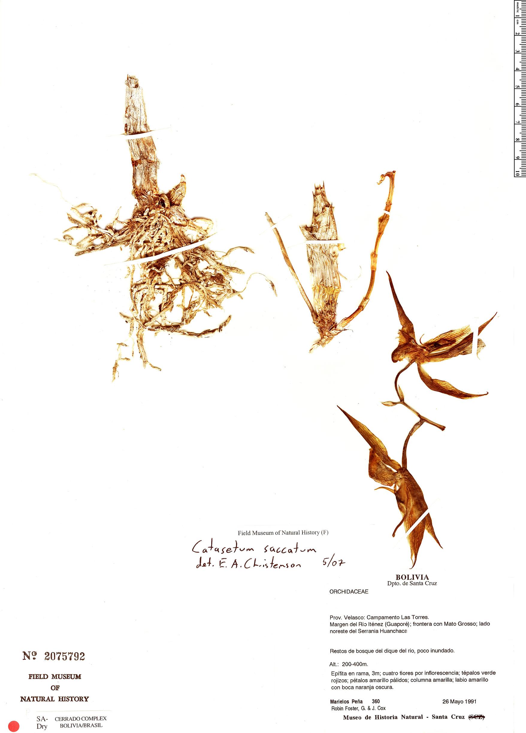 Specimen: Catasetum saccatum