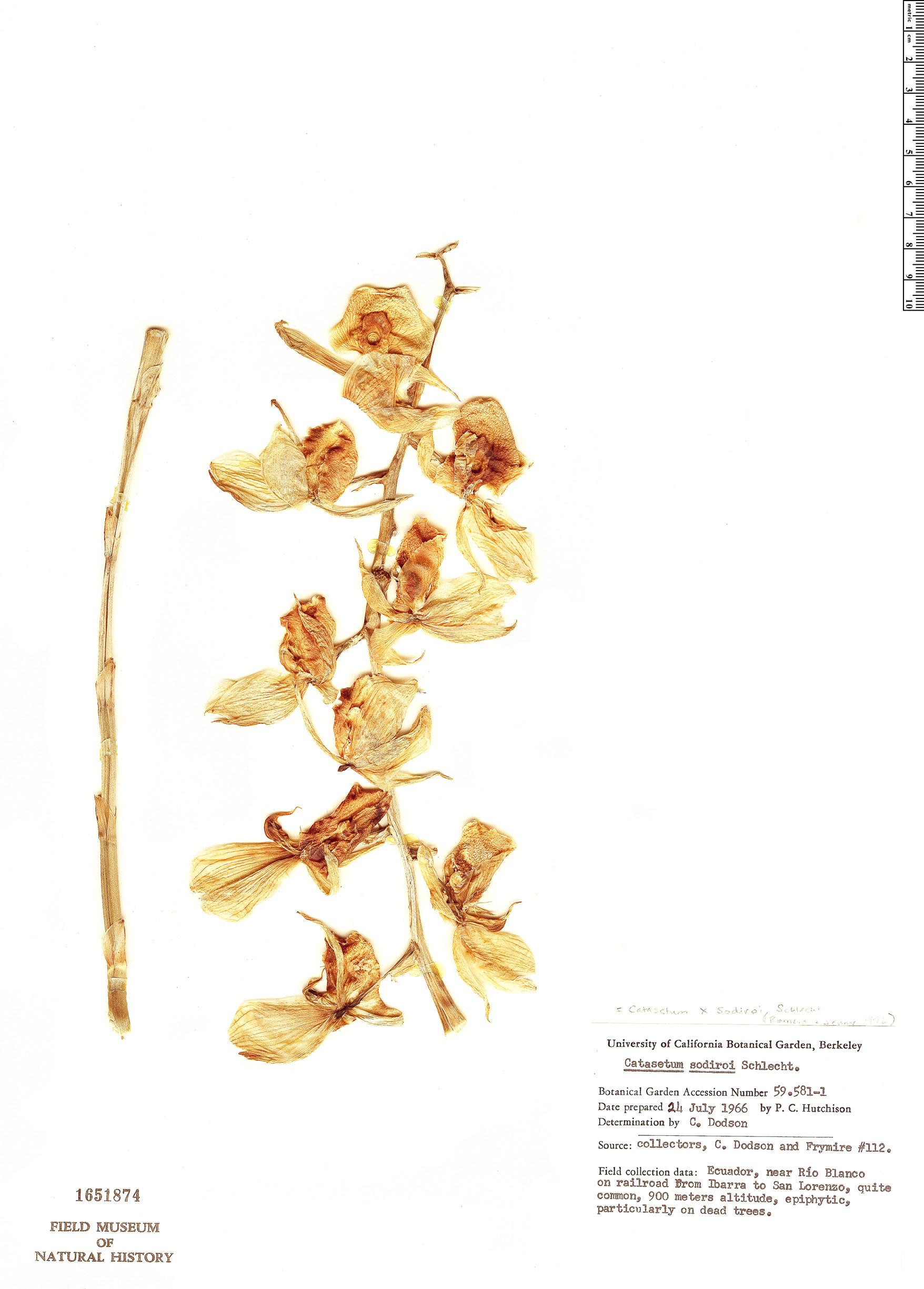 Specimen: Catasetum sodiroi