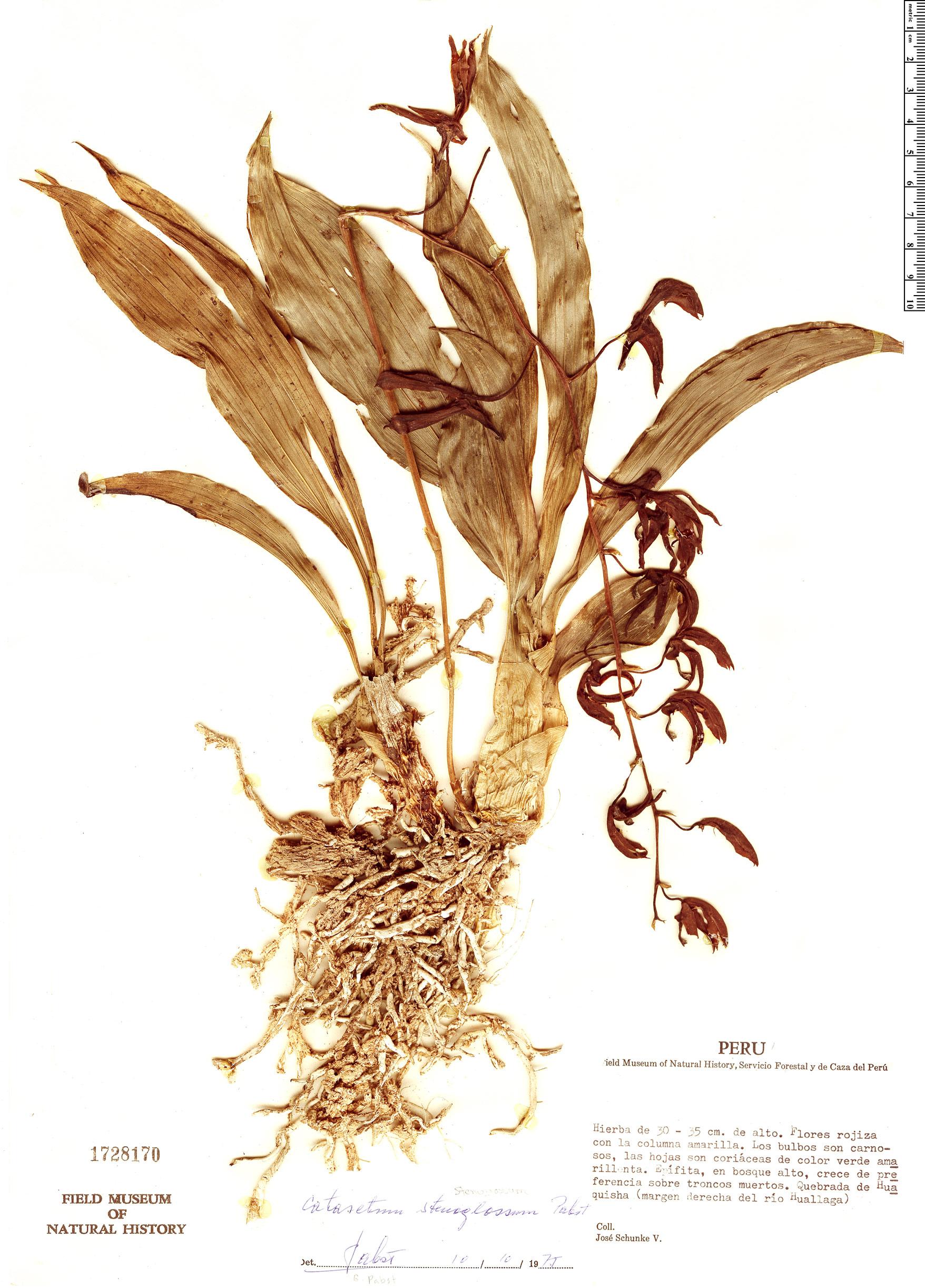Specimen: Catasetum stenoglossum