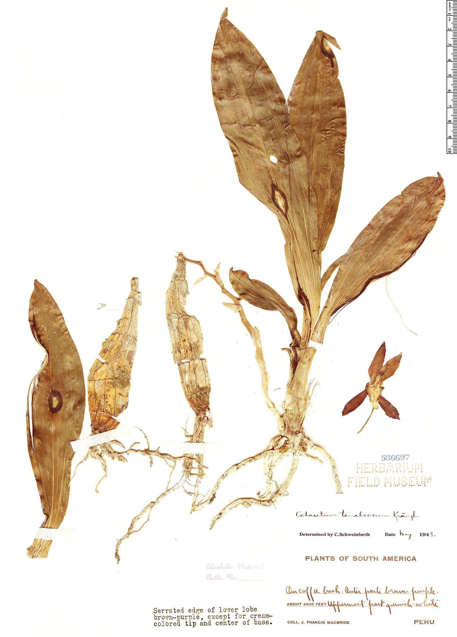 Specimen: Catasetum tenebrosum