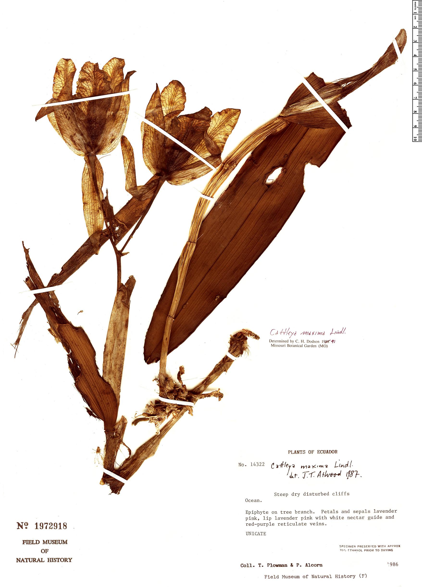 Specimen: Cattleya maxima