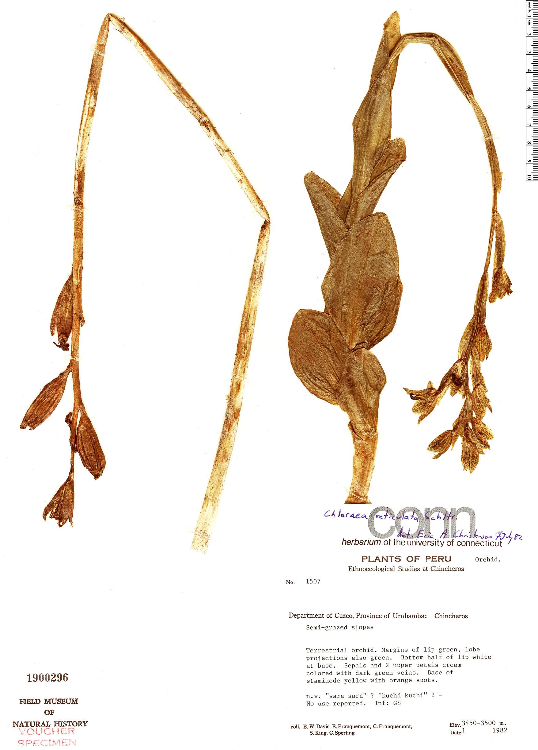 Specimen: Chloraea reticulata