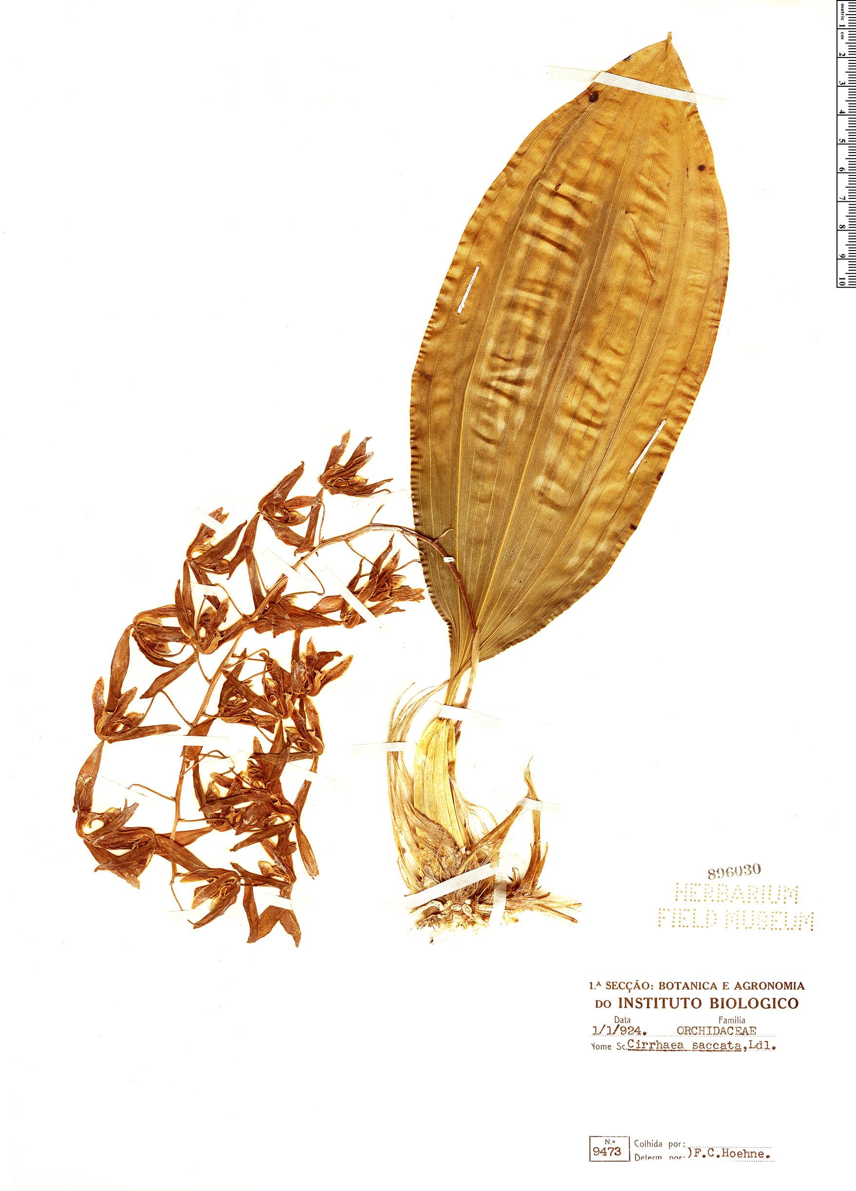 Specimen: Cirrhaea saccata