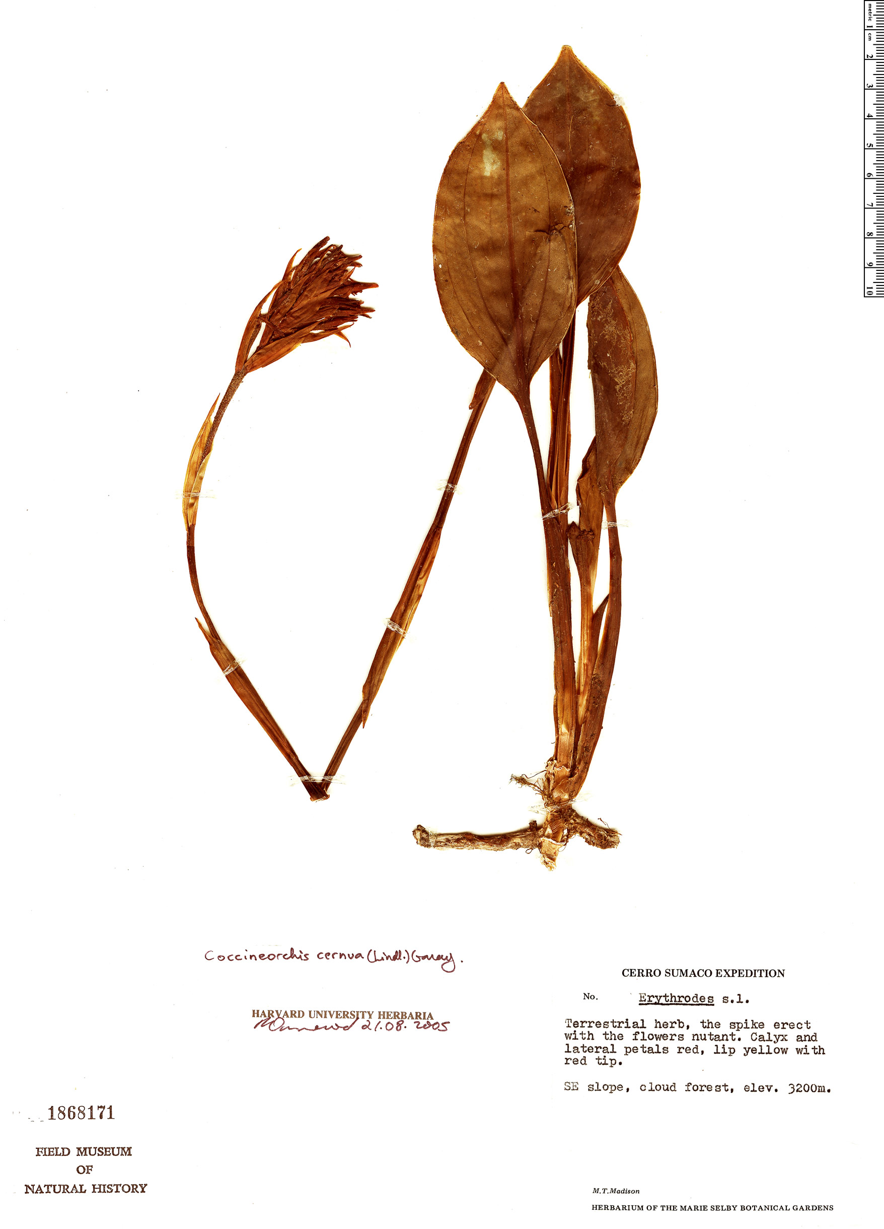 Specimen: Coccineorchis cernua