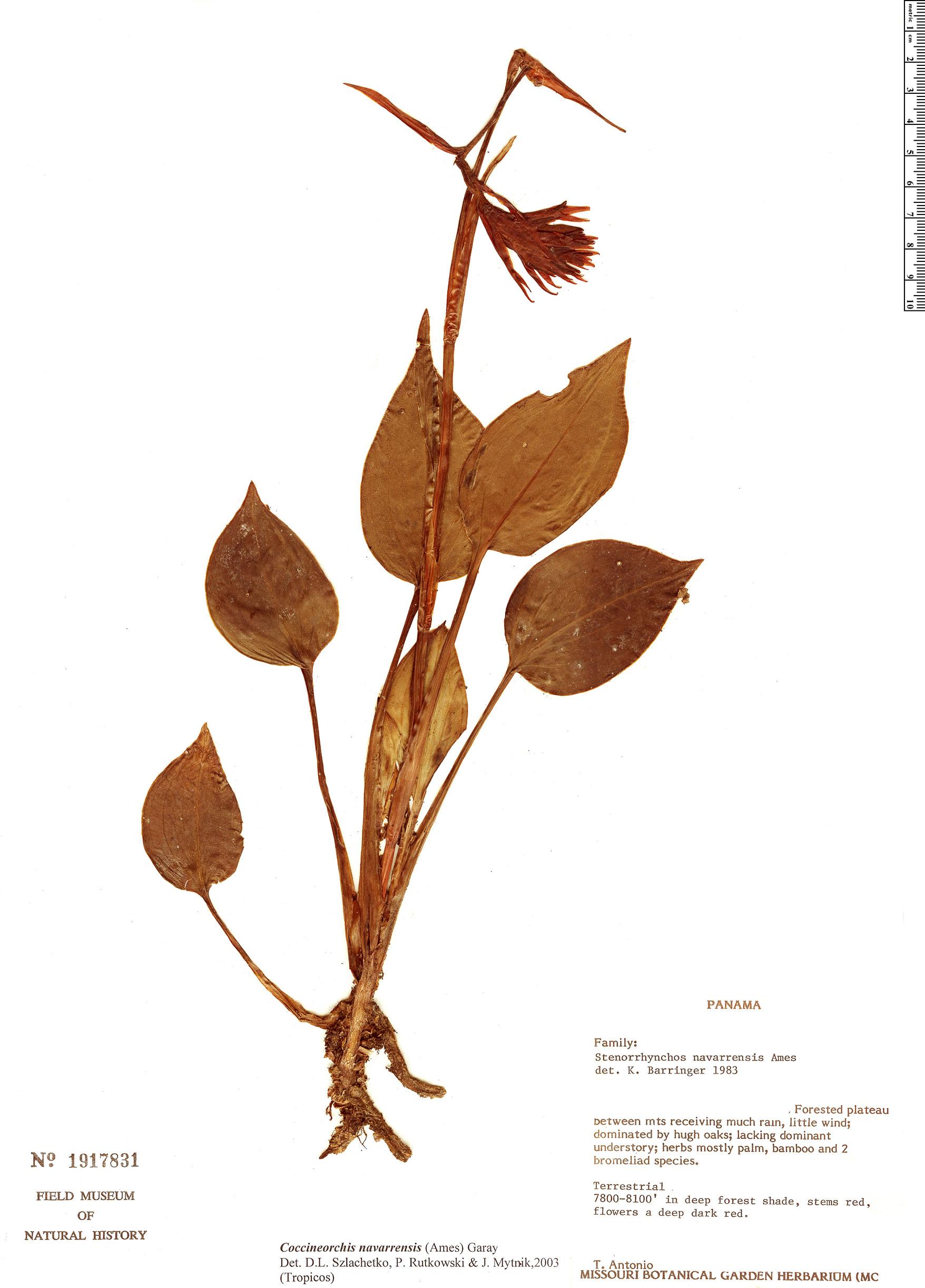 Specimen: Coccineorchis navarrensis