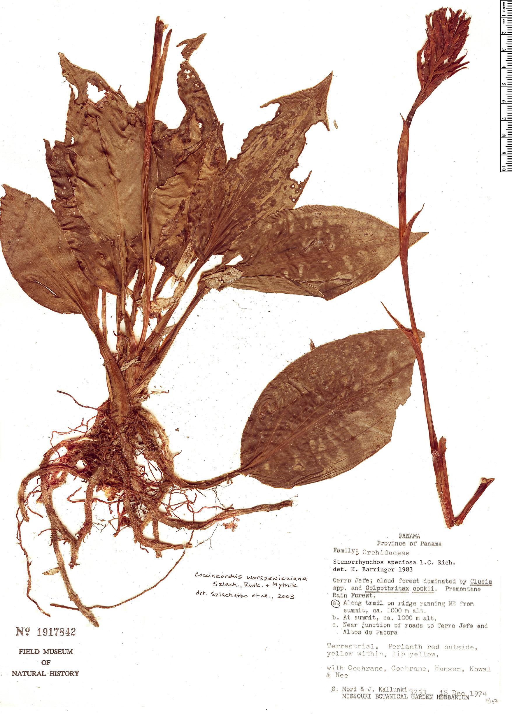 Specimen: Coccineorchis warszewicziana