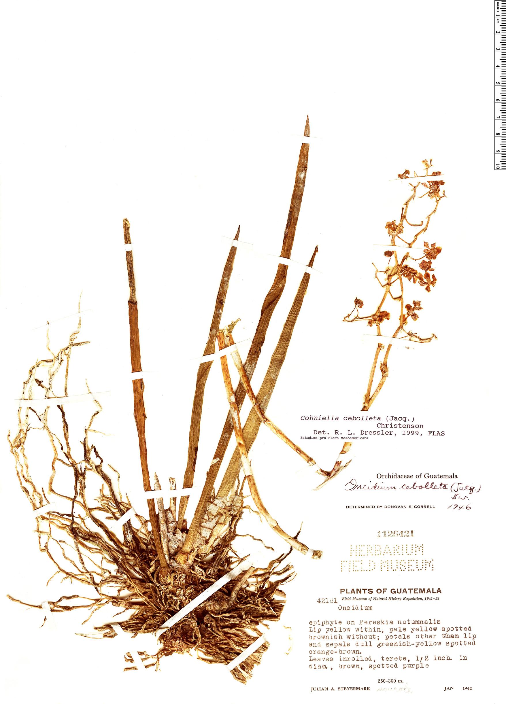 Specimen: Cohniella cebolleta