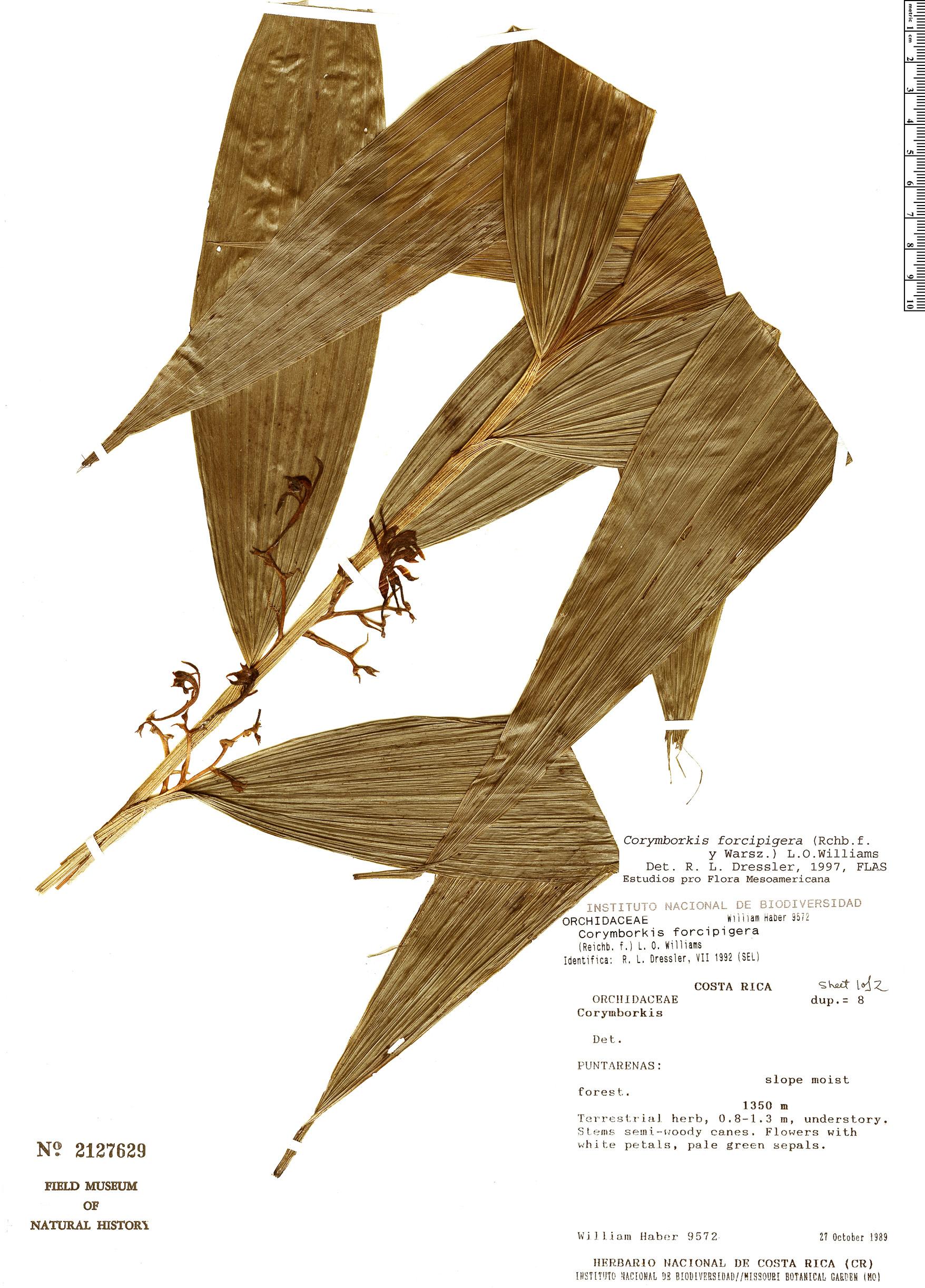 Specimen: Corymborkis forcipigera