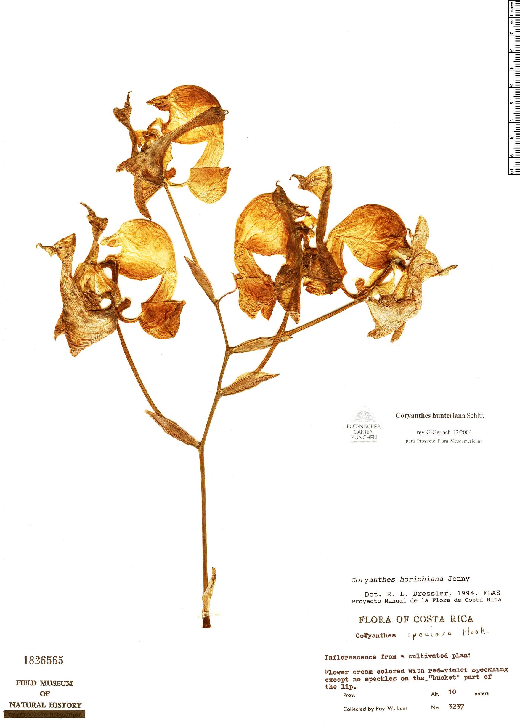 Specimen: Coryanthes hunteriana