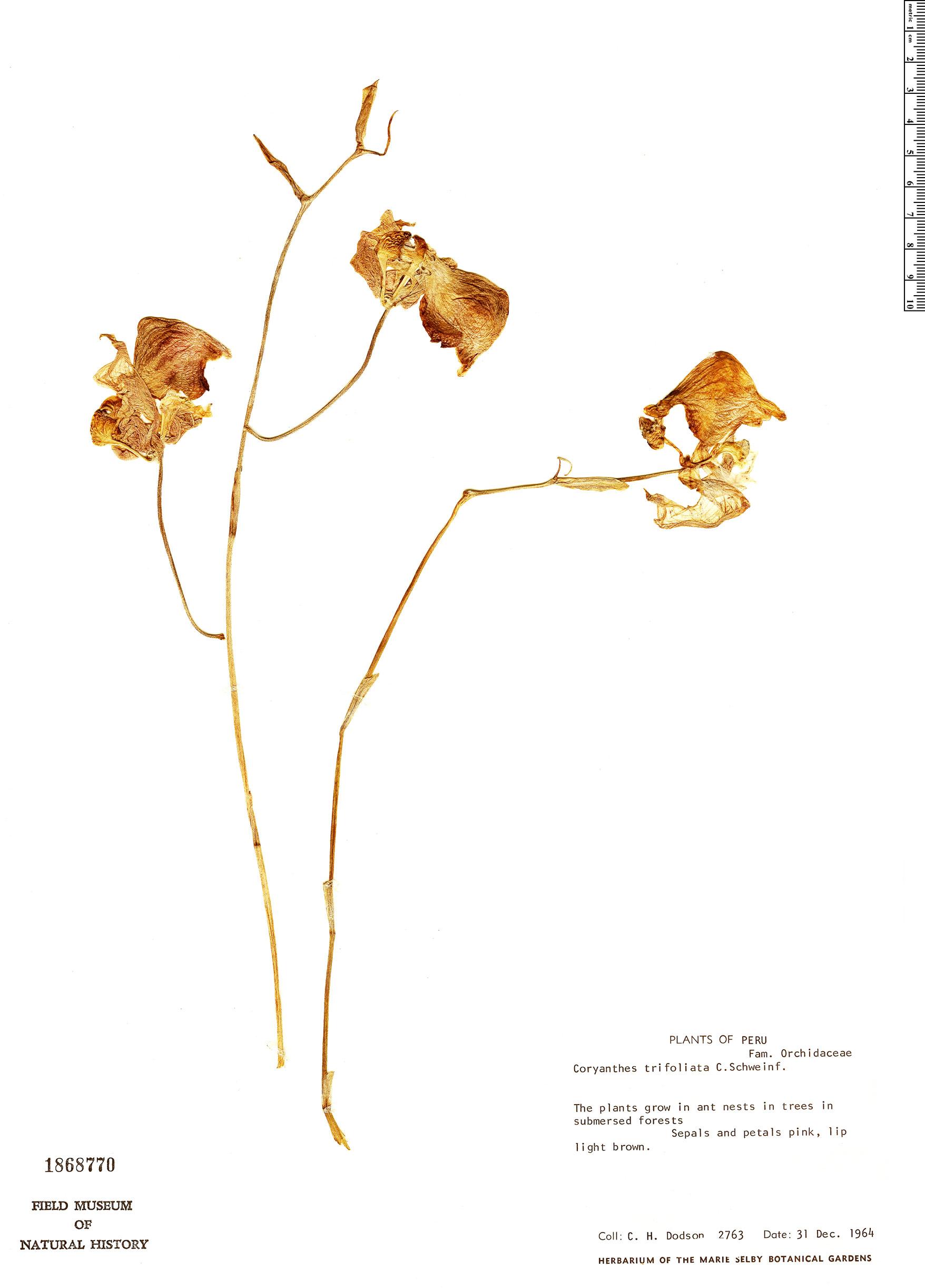 Specimen: Coryanthes trifoliata
