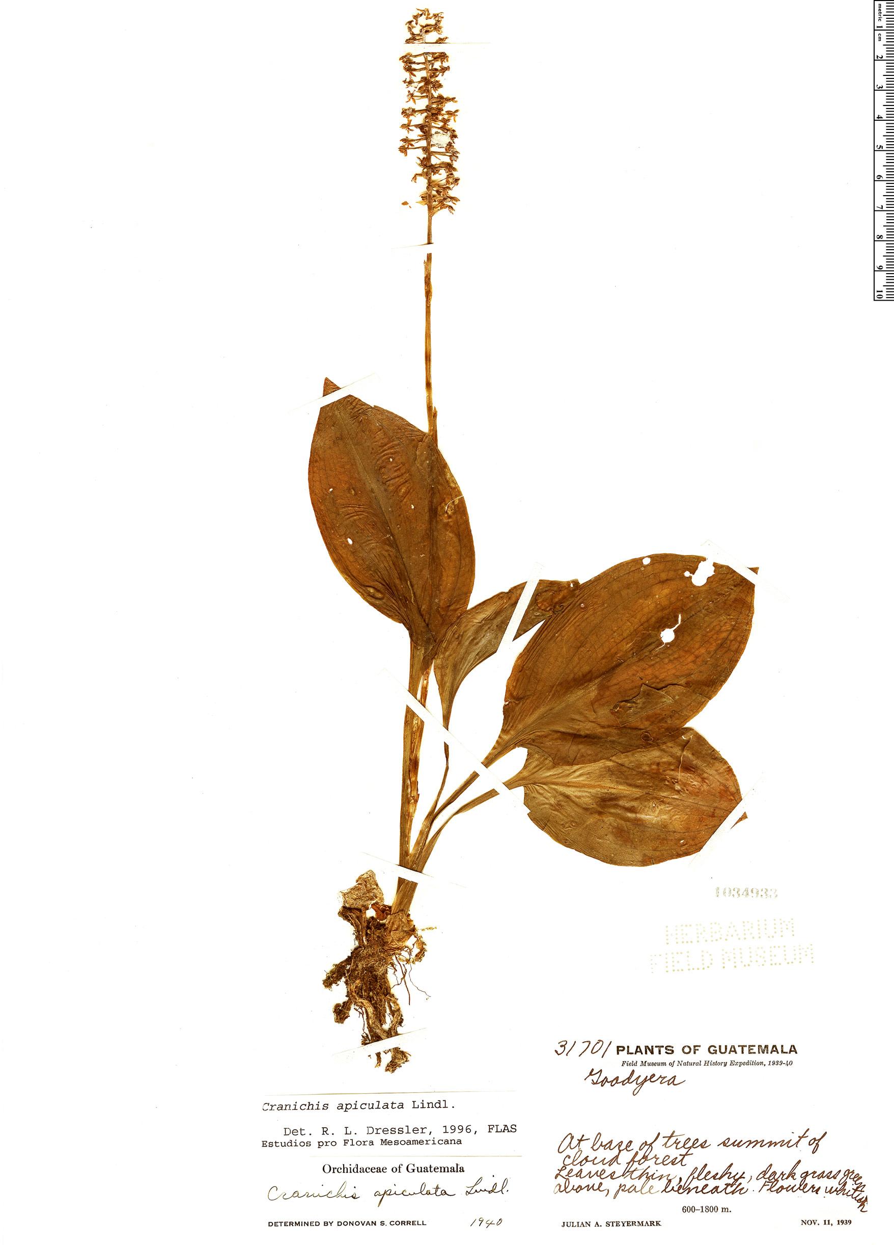 Specimen: Cranichis apiculata