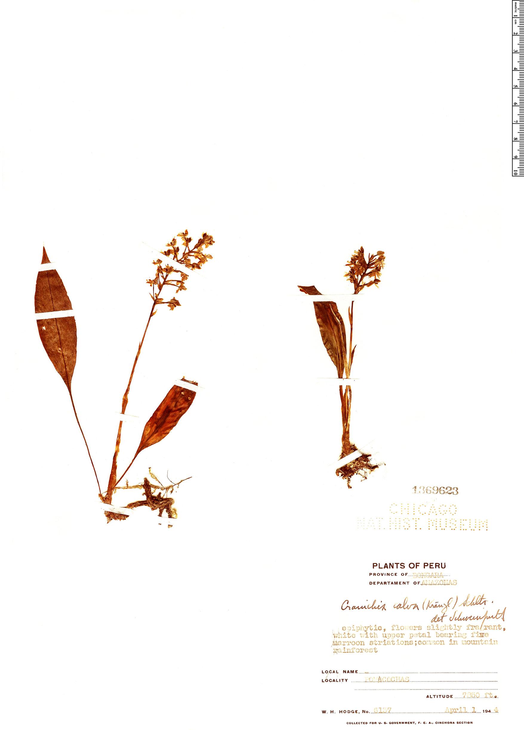 Specimen: Cranichis calva