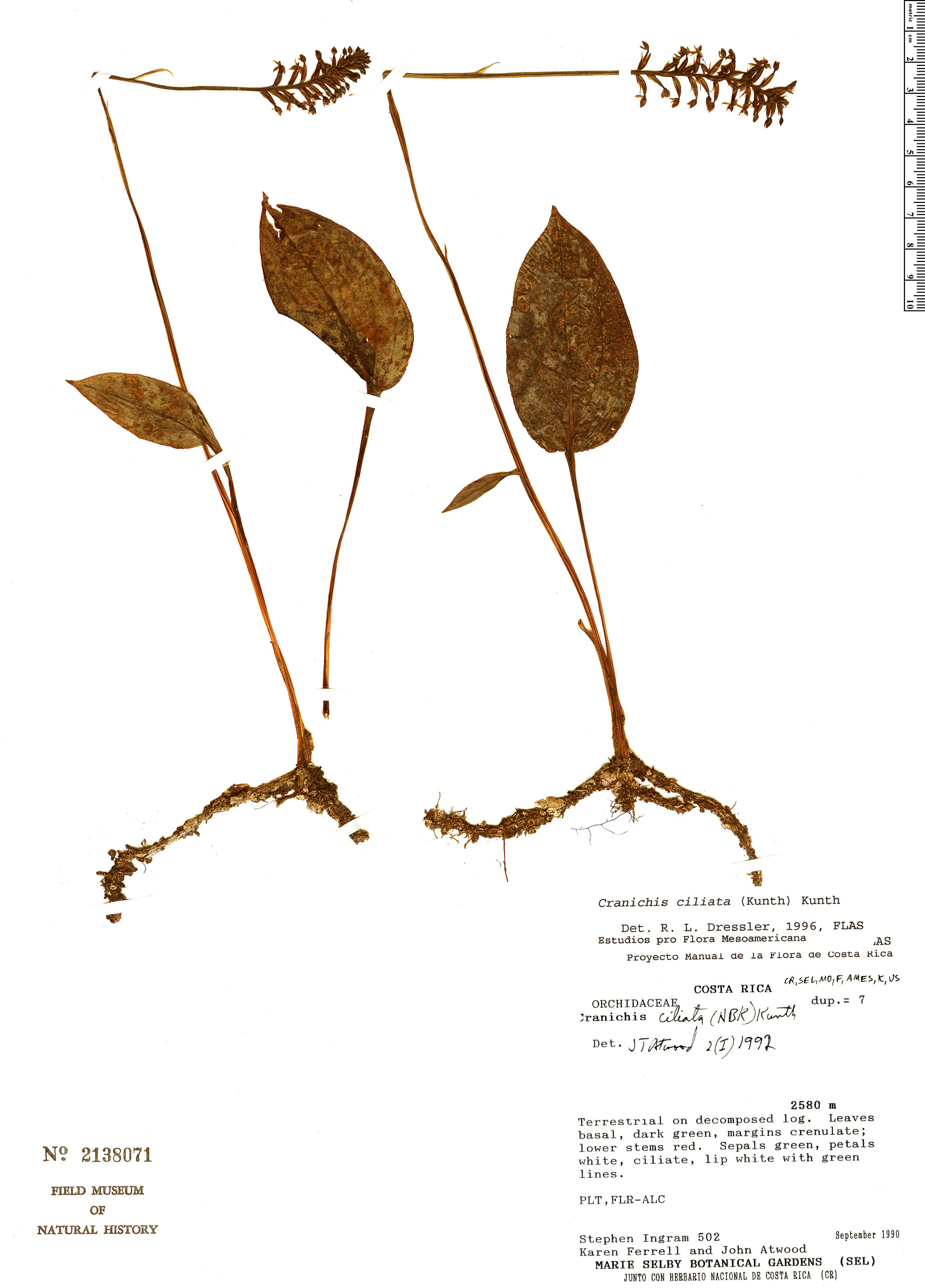 Specimen: Cranichis ciliata