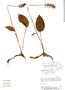 Cranichis ciliata image