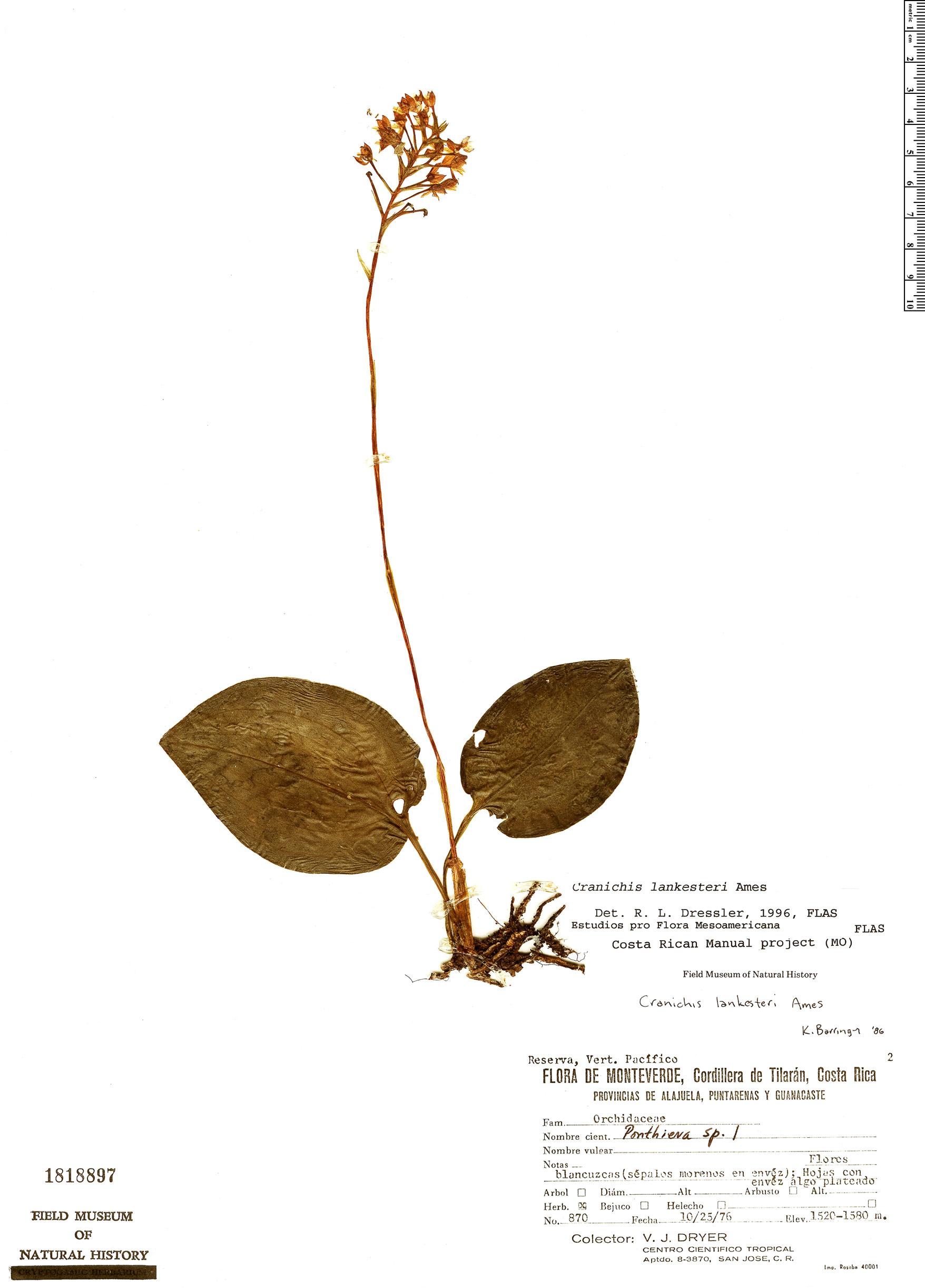 Specimen: Cranichis lankesteri