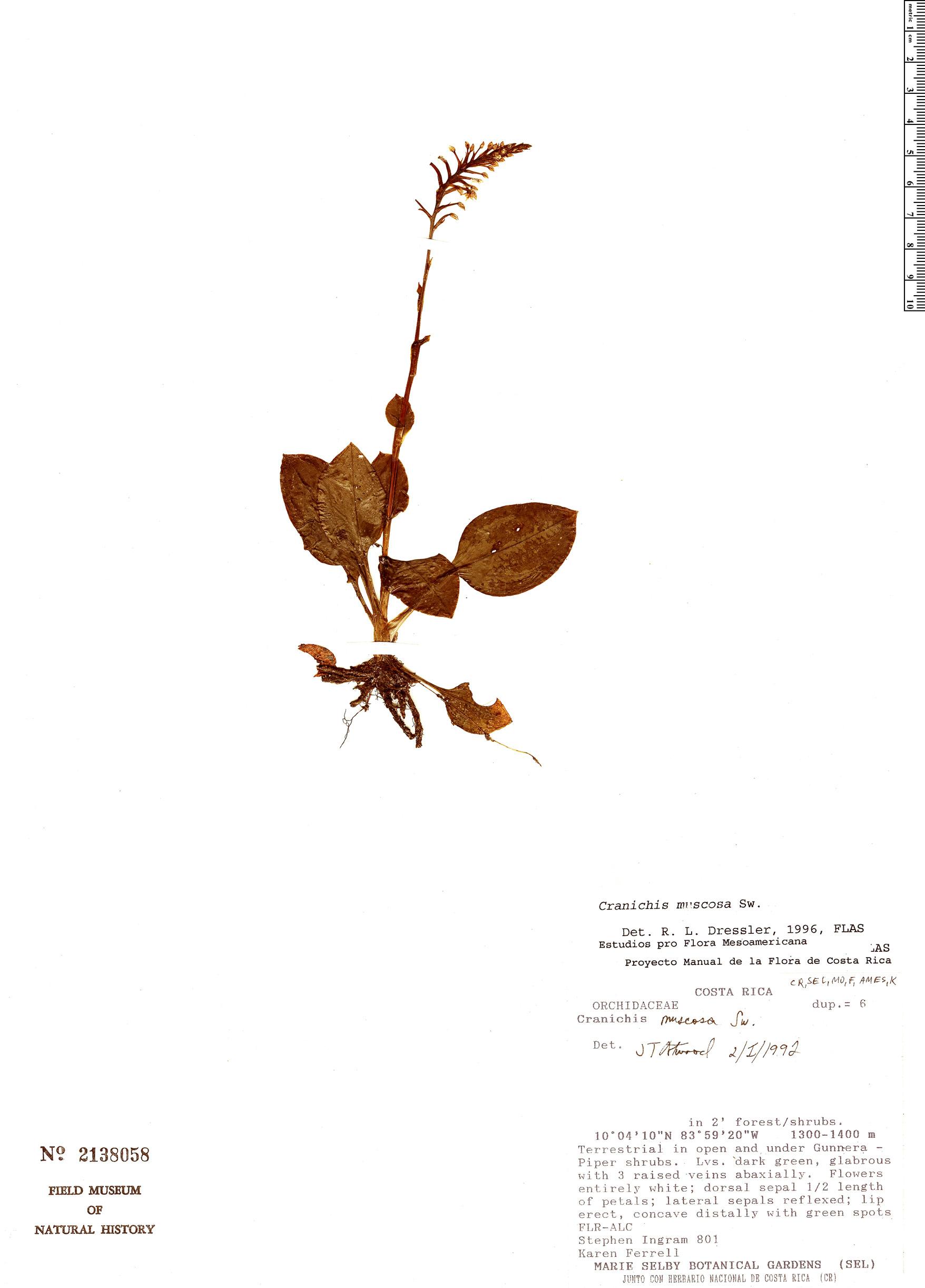 Specimen: Cranichis muscosa