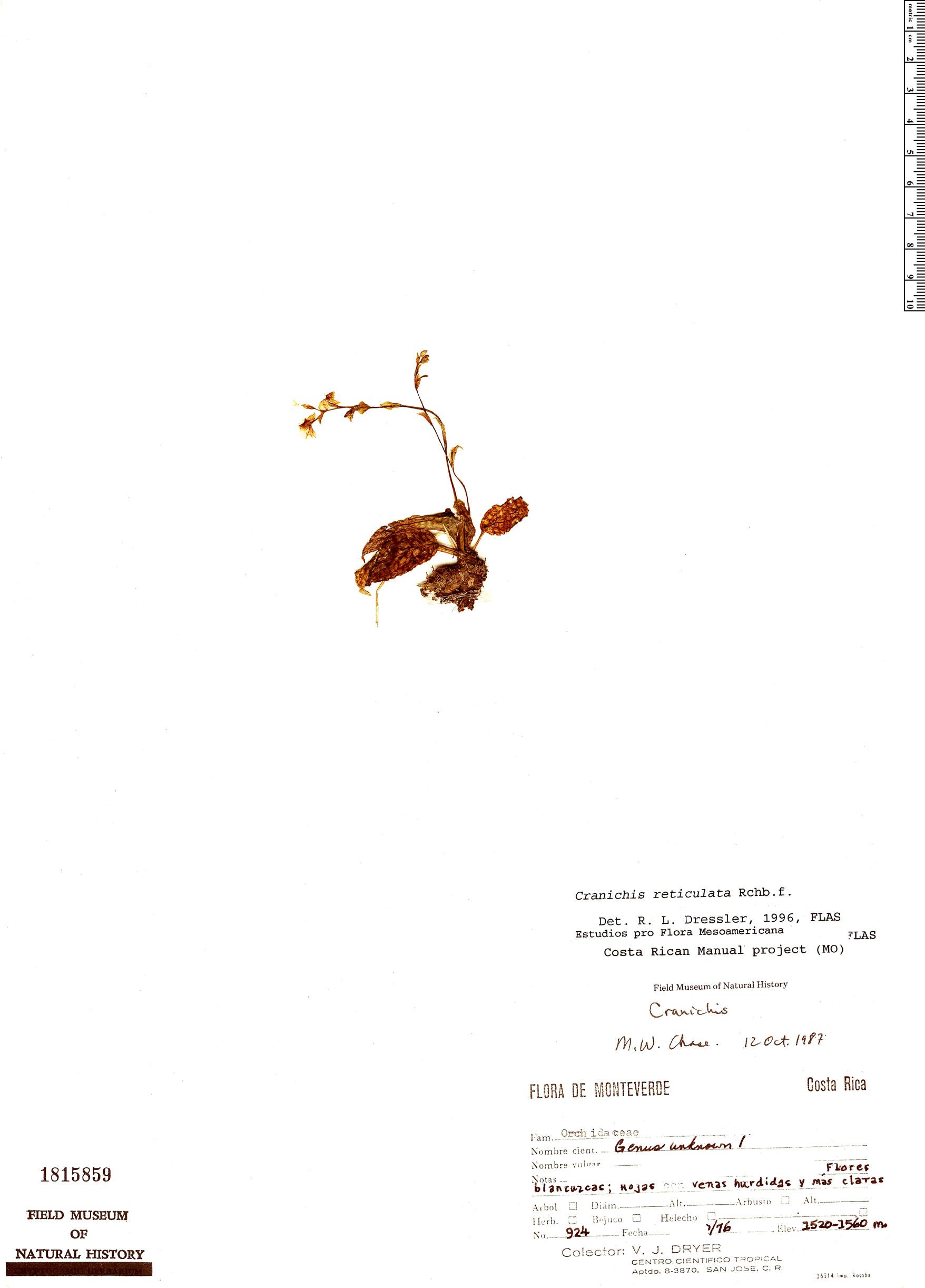 Specimen: Cranichis reticulata