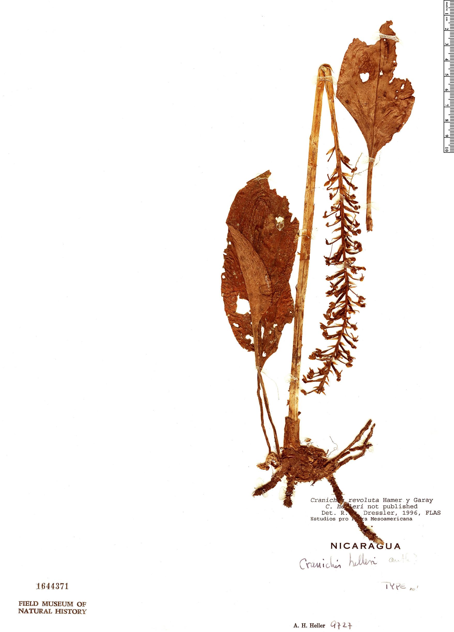 Espécimen: Cranichis revoluta