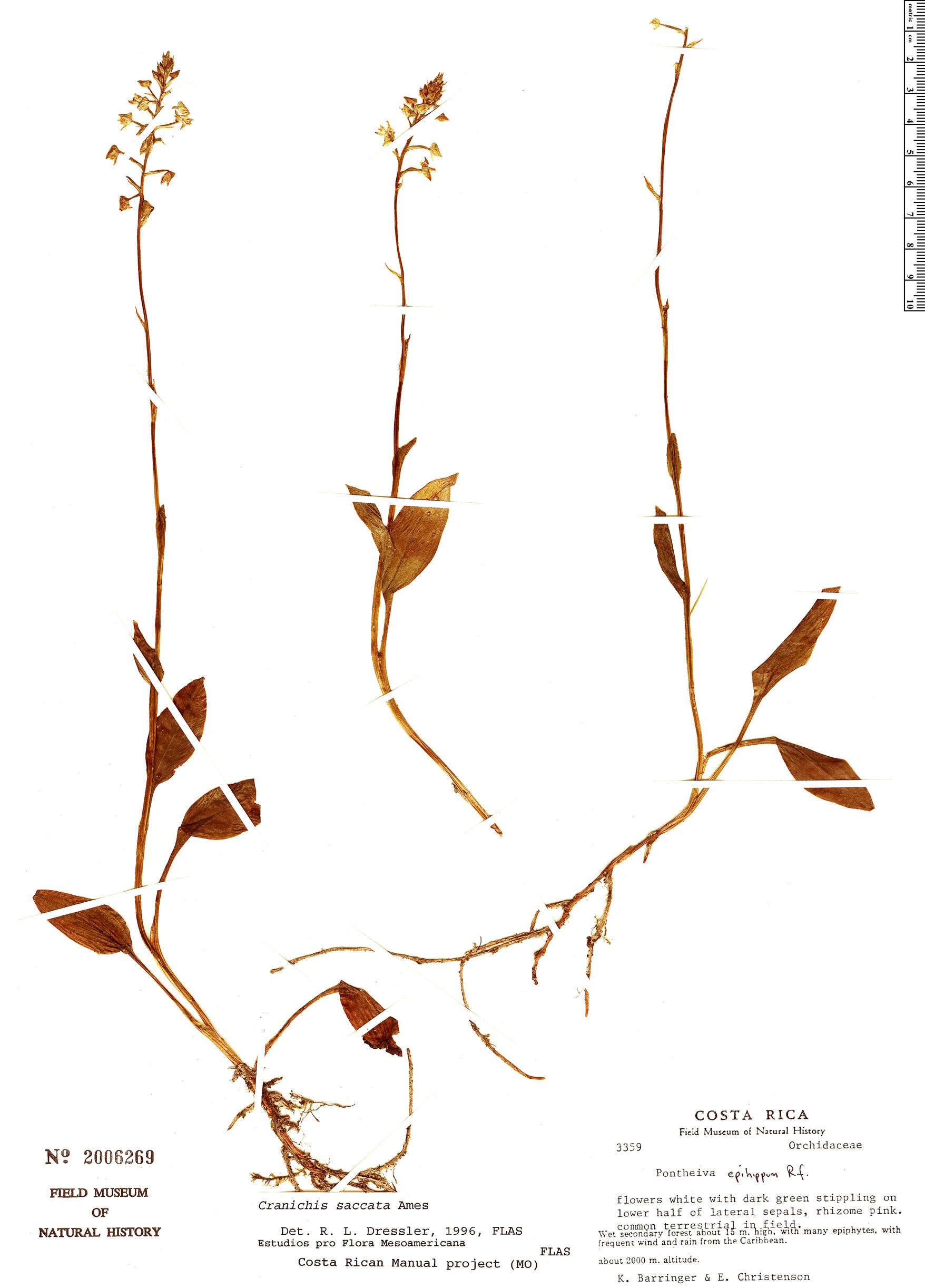 Specimen: Cranichis saccata