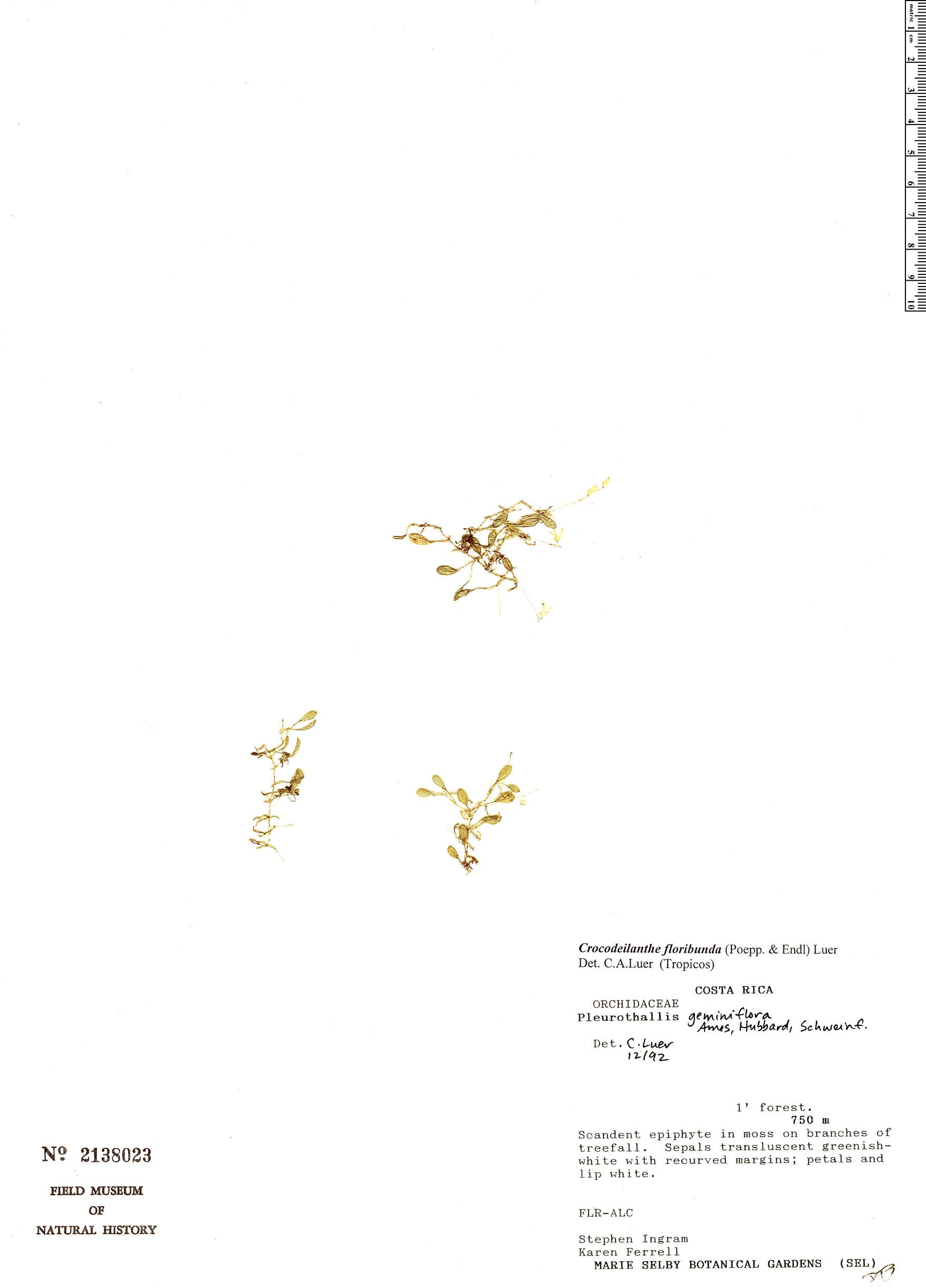 Specimen: Pleurothallis calyptrostele