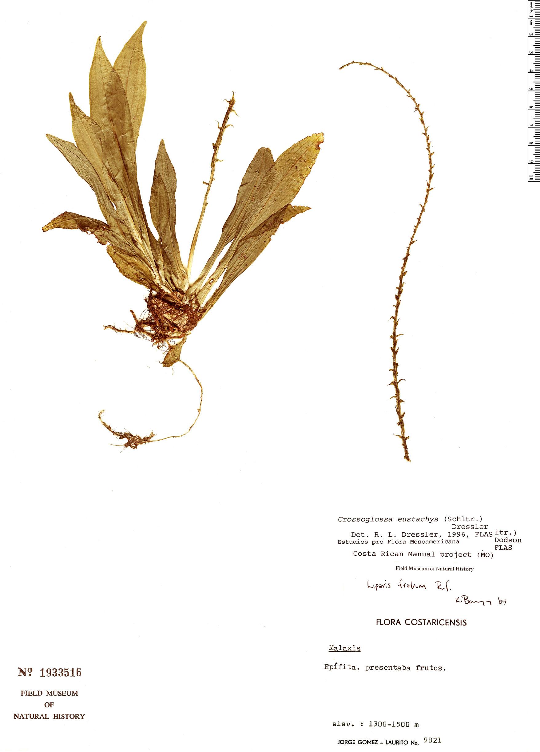 Specimen: Crossoglossa eustachys