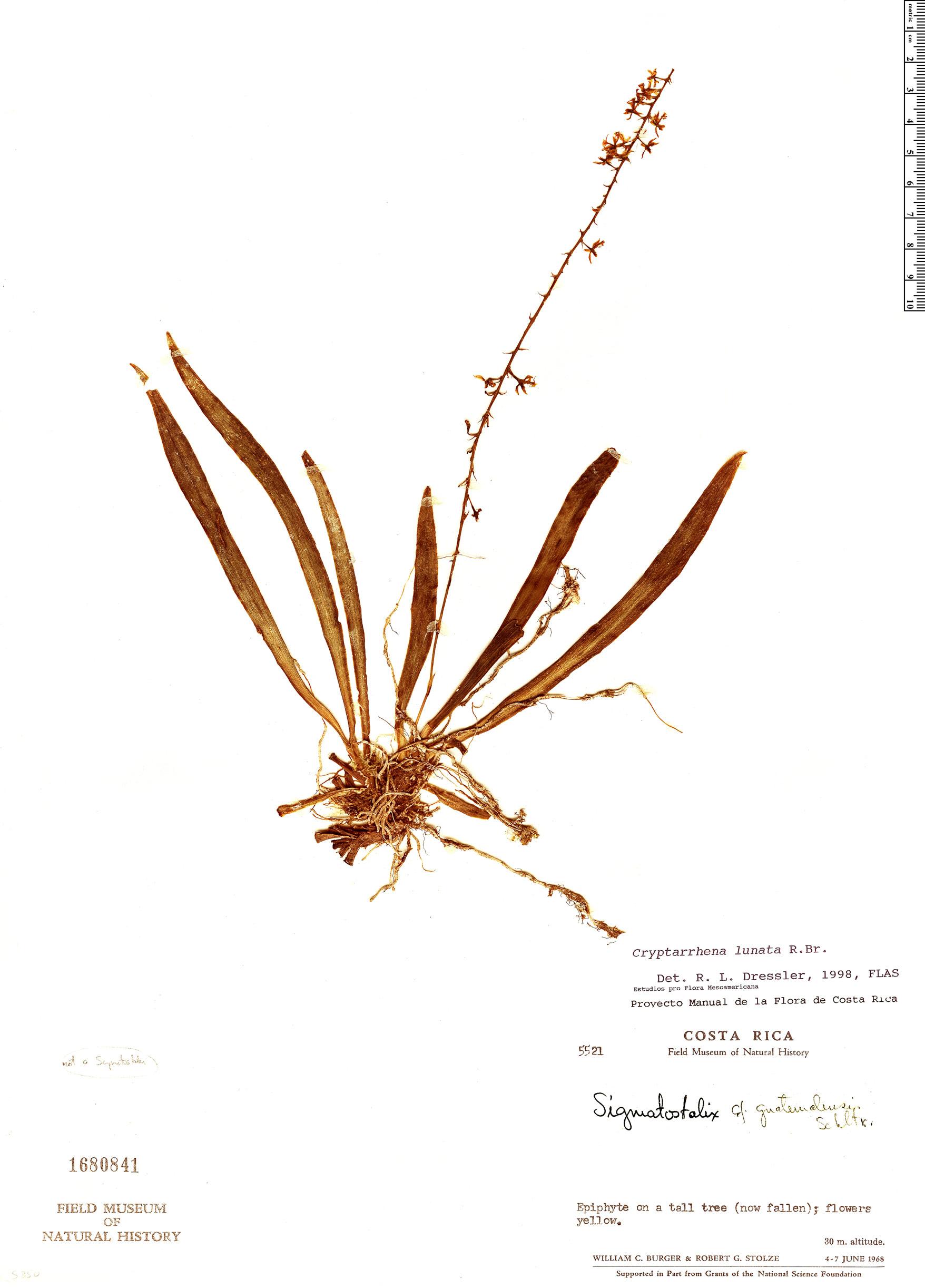 Specimen: Cryptarrhena lunata