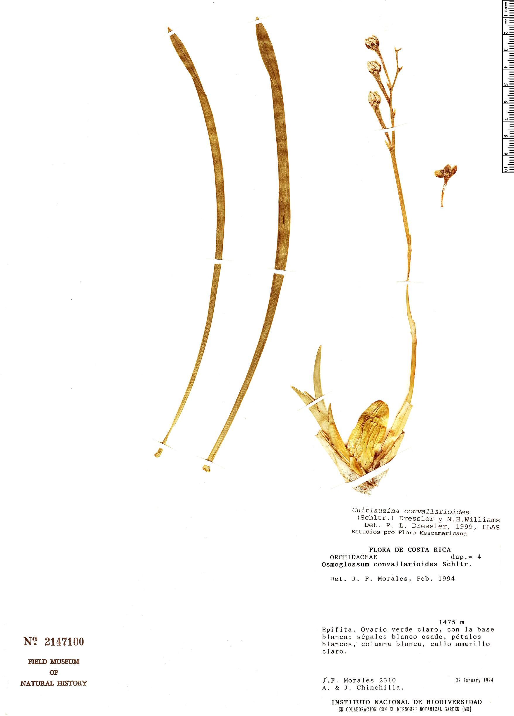 Specimen: Cuitlauzina convallarioides
