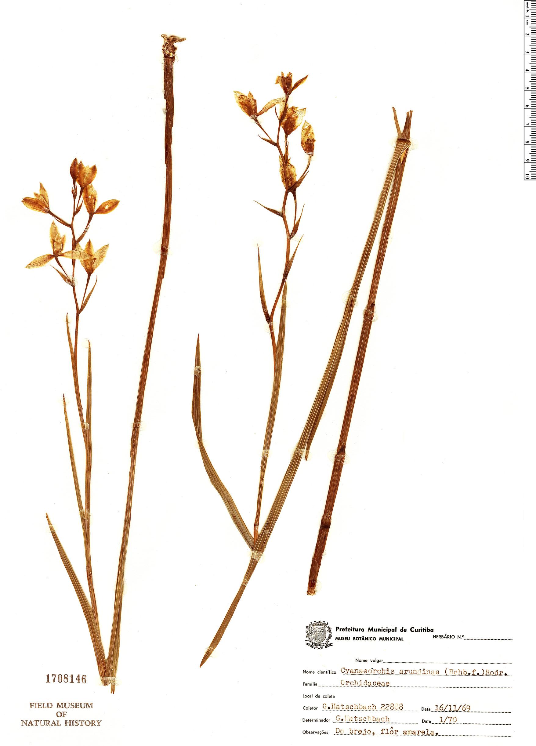 Specimen: Cyanaeorchis arundinae