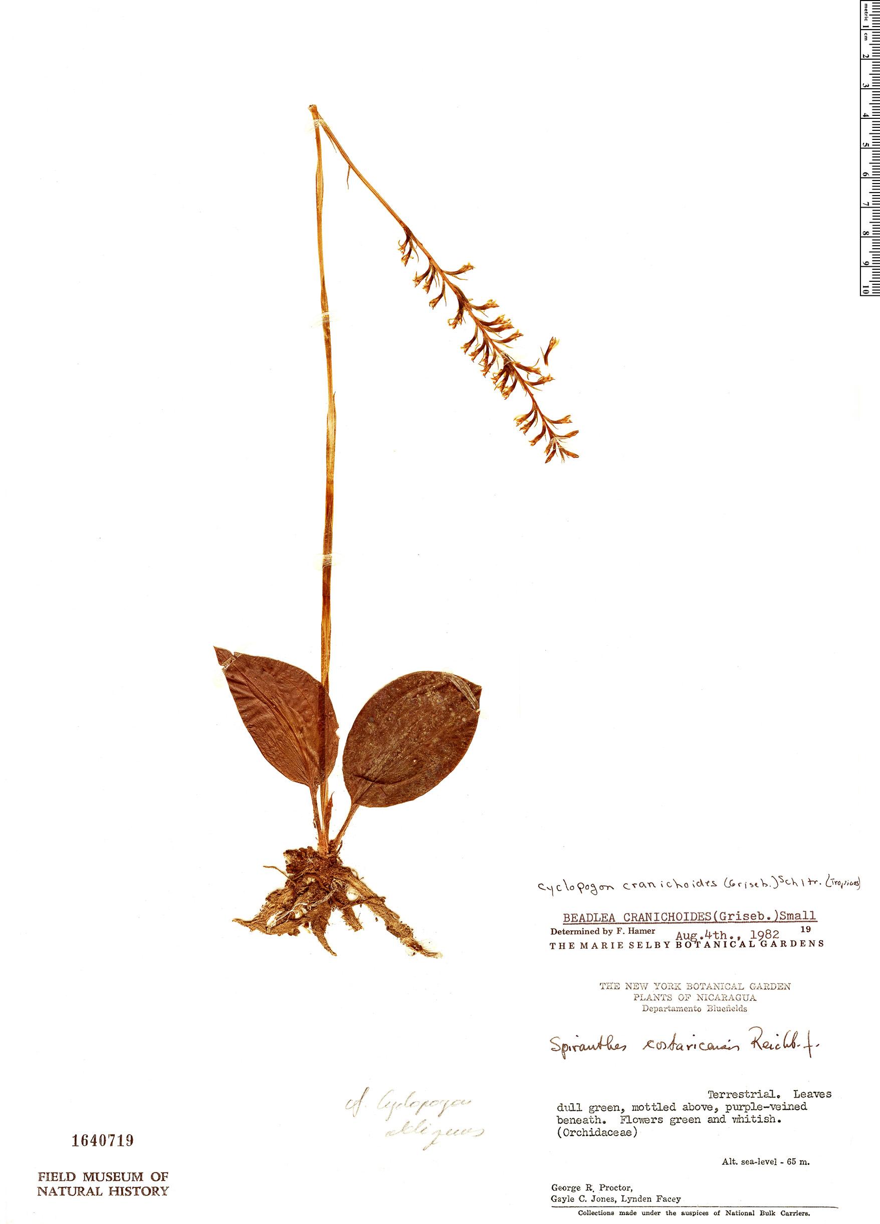 Specimen: Cyclopogon cranichoides