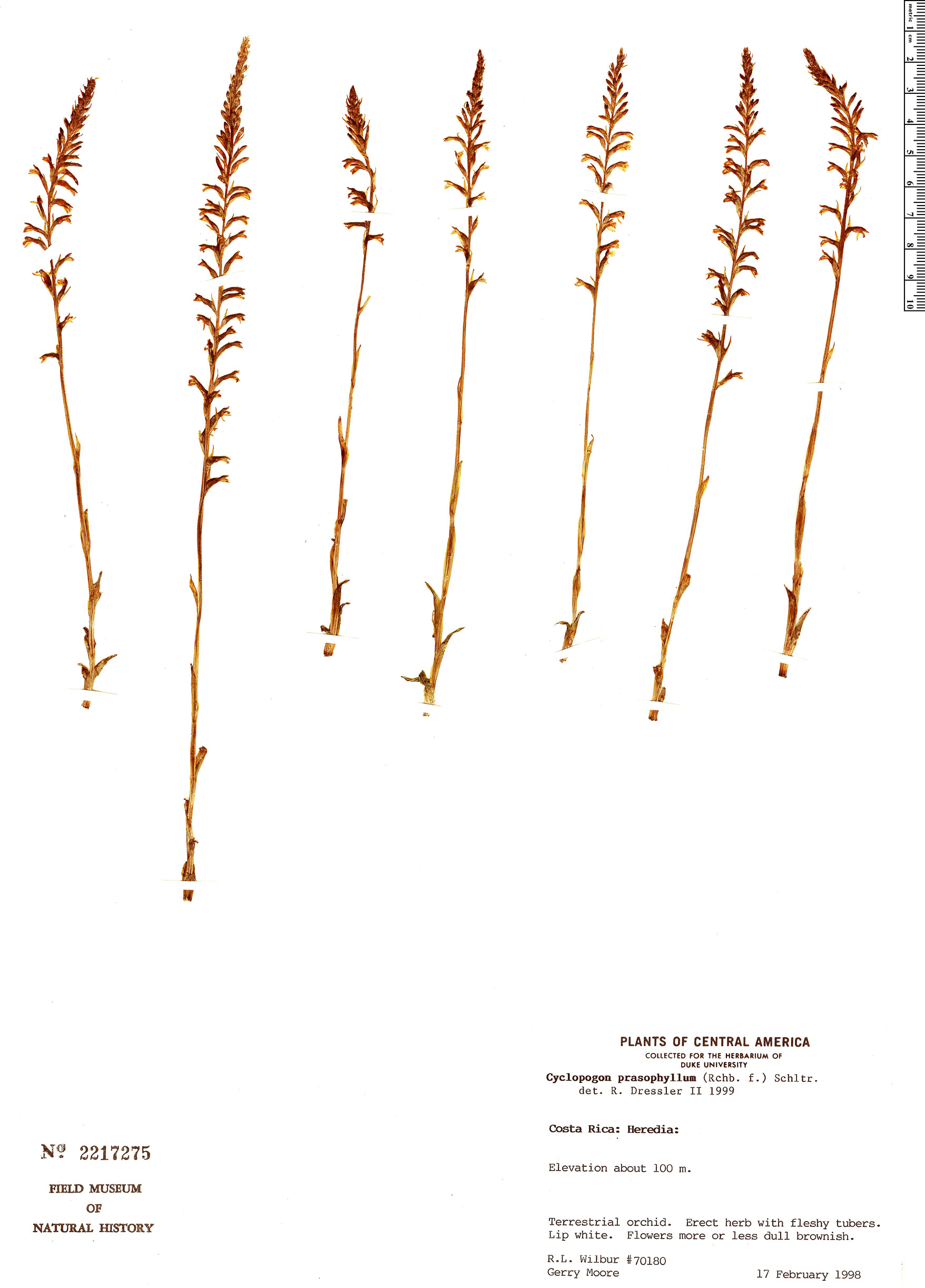 Specimen: Cyclopogon prasophyllus