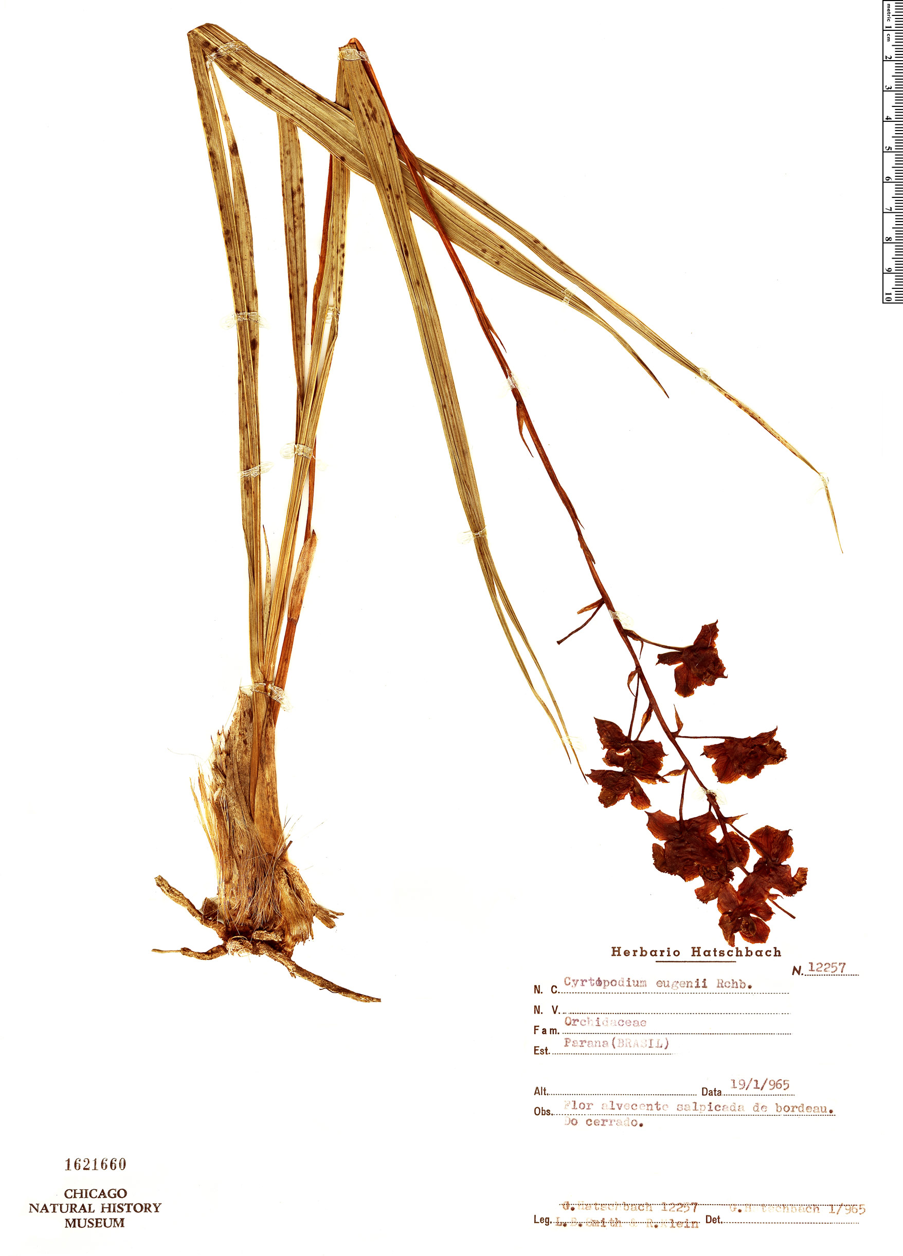Specimen: Cyrtopodium eugenii