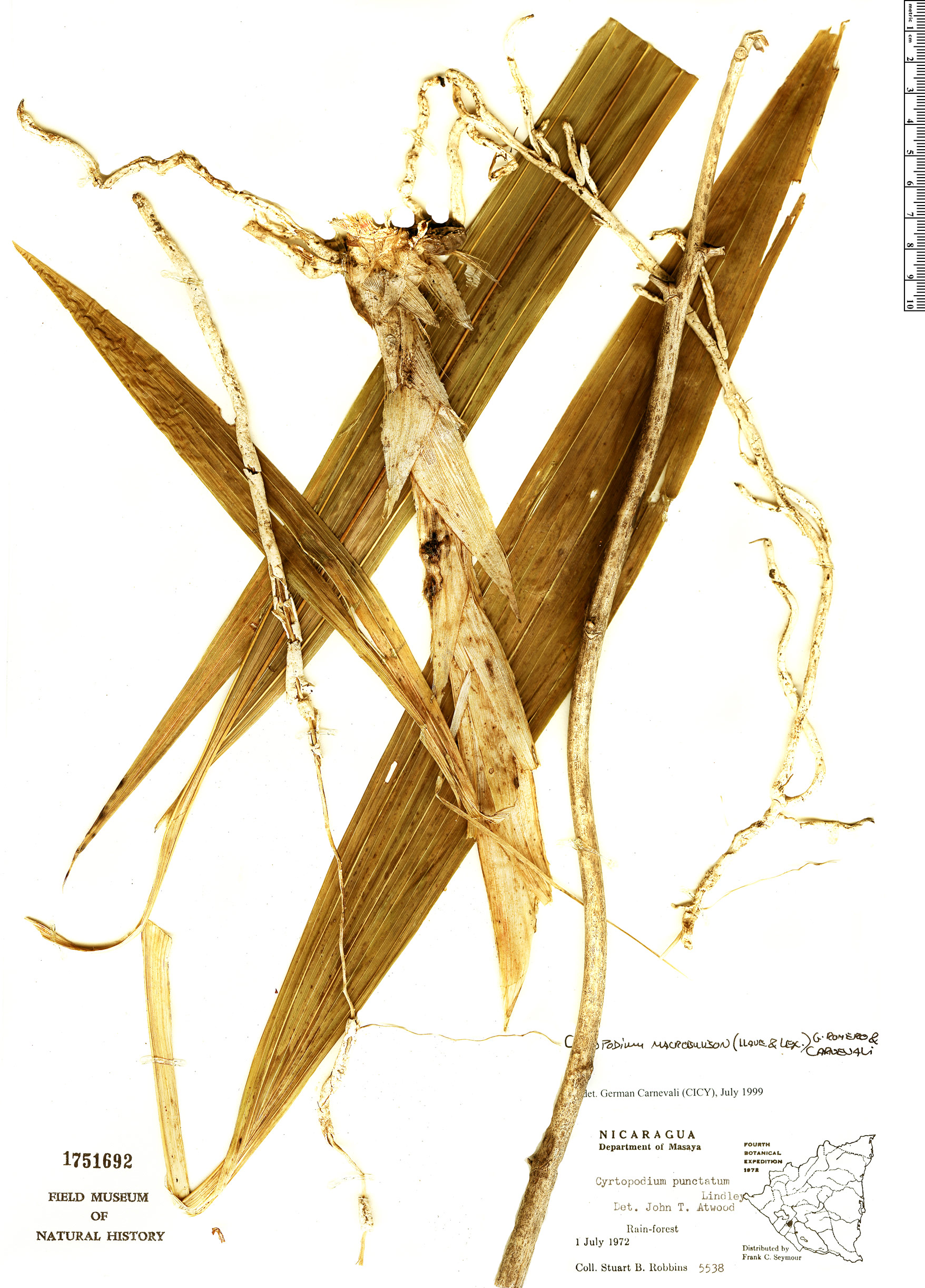 Specimen: Cyrtopodium macrobulbon