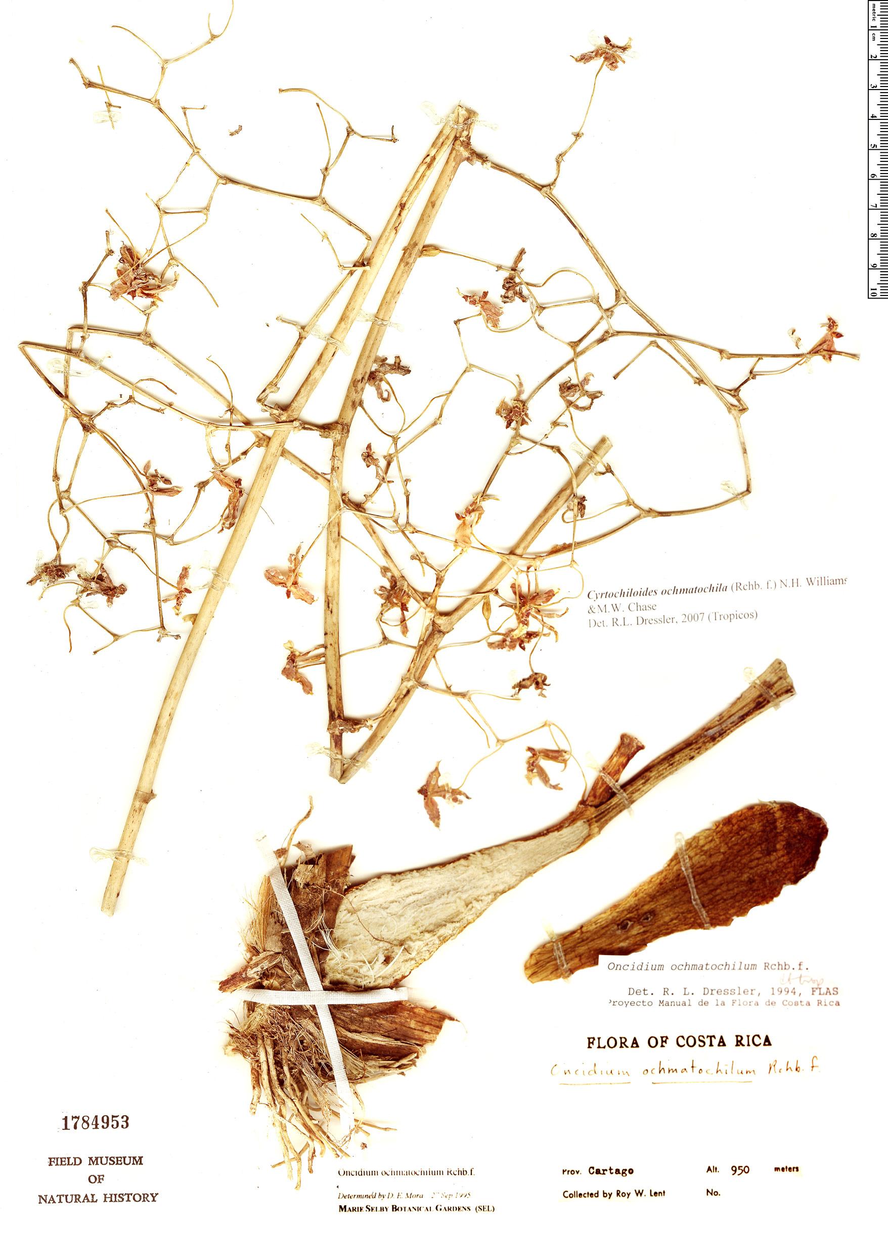 Specimen: Cyrtochiloides ochmatochila