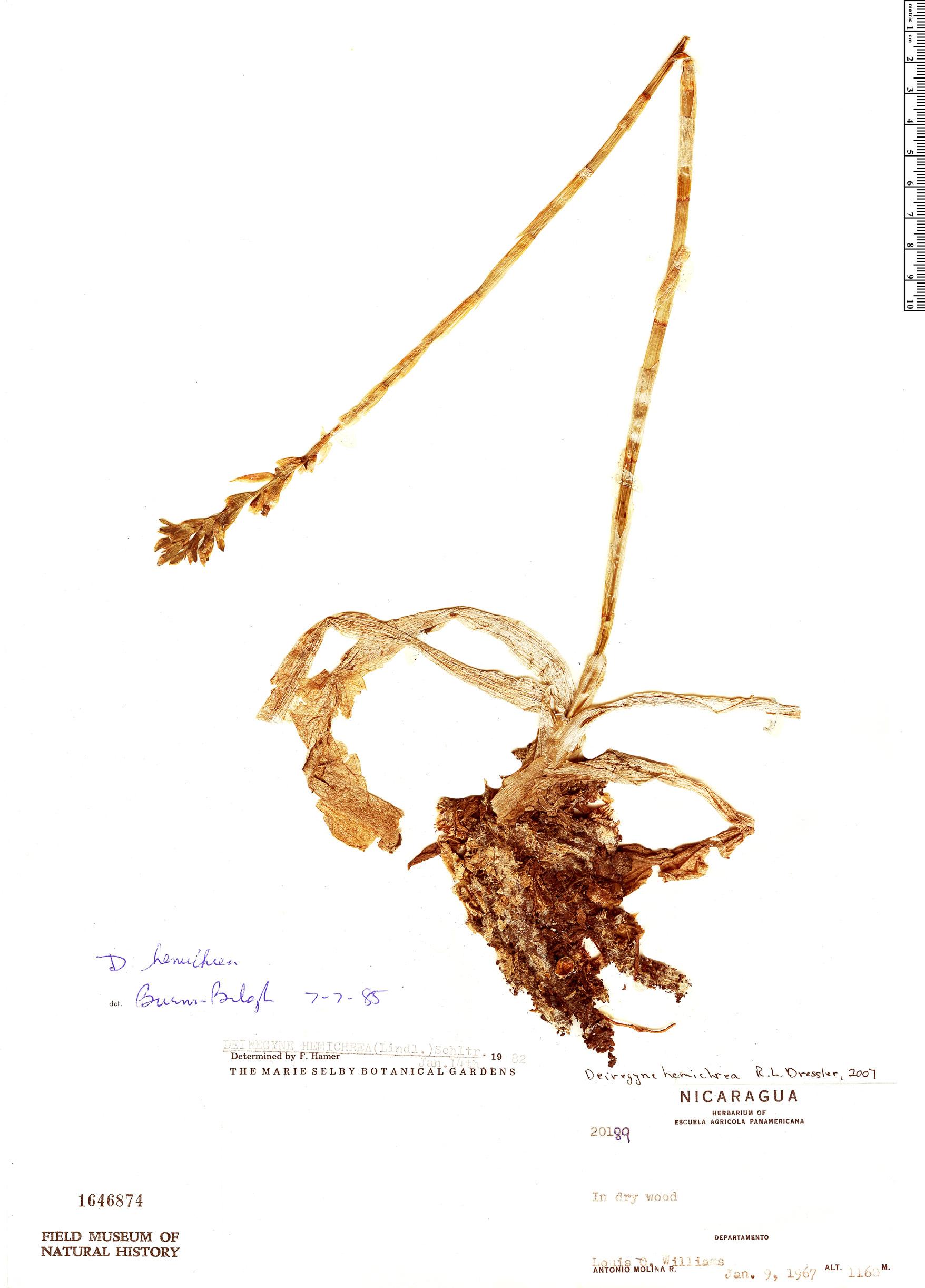 Specimen: Aulosepalum hemichreum