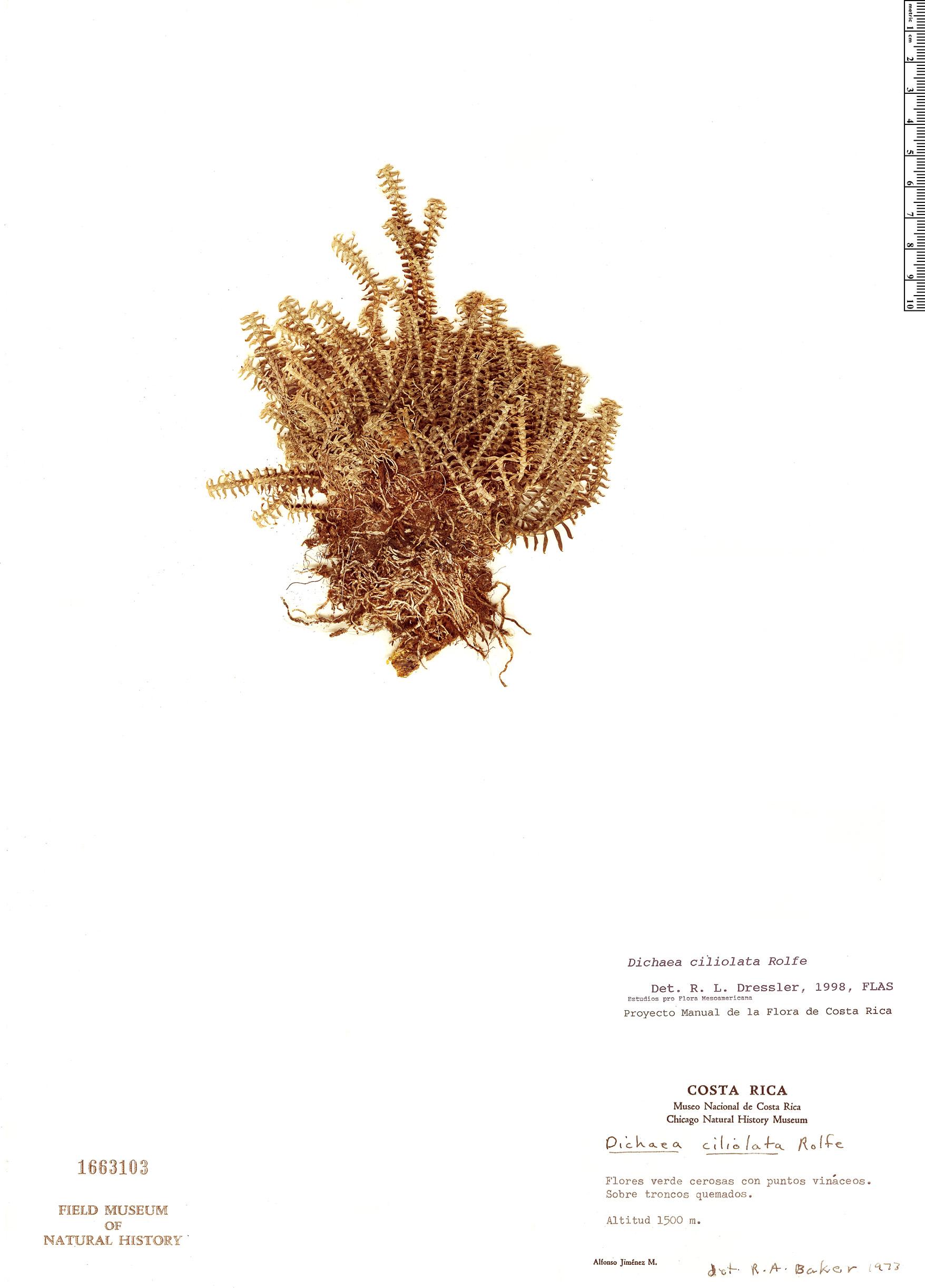Specimen: Dichaea ciliolata