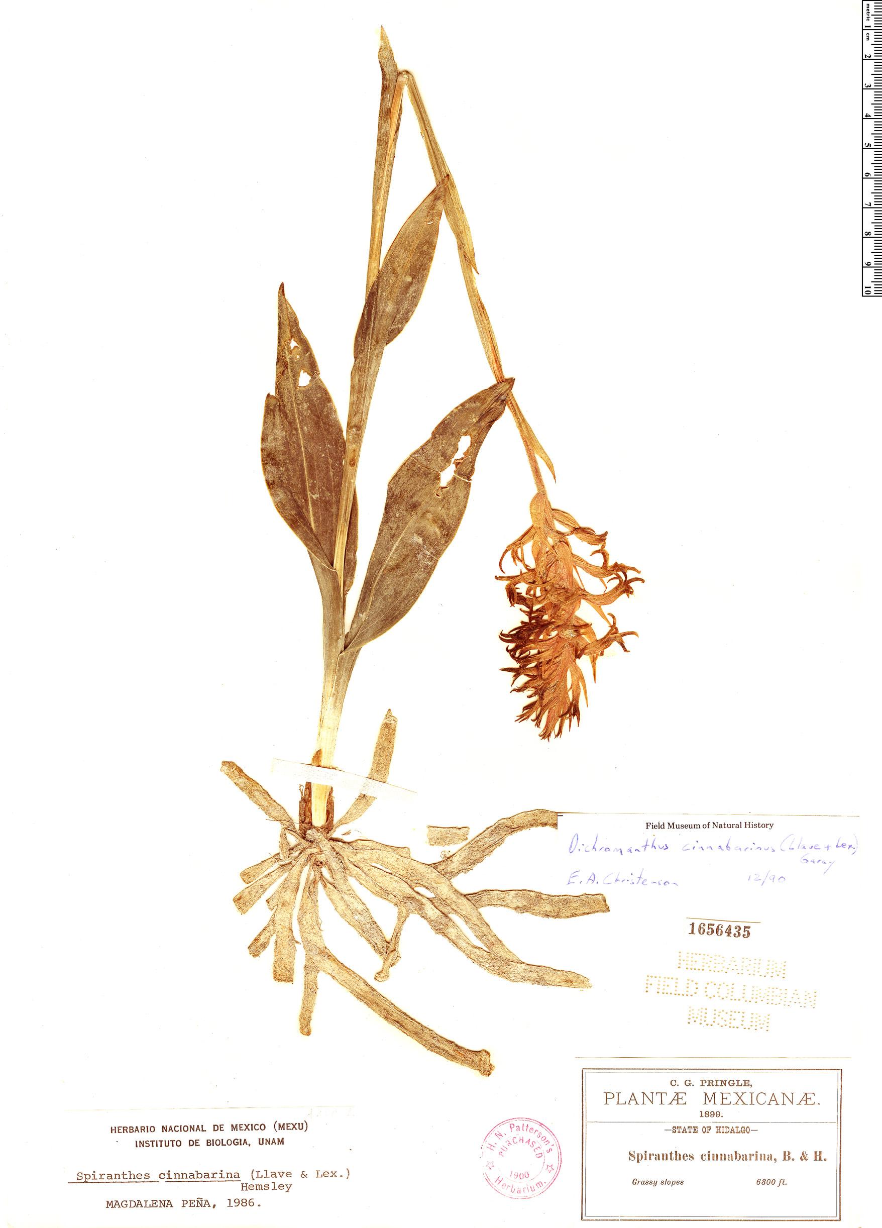 Specimen: Dichromanthus cinnabarinus