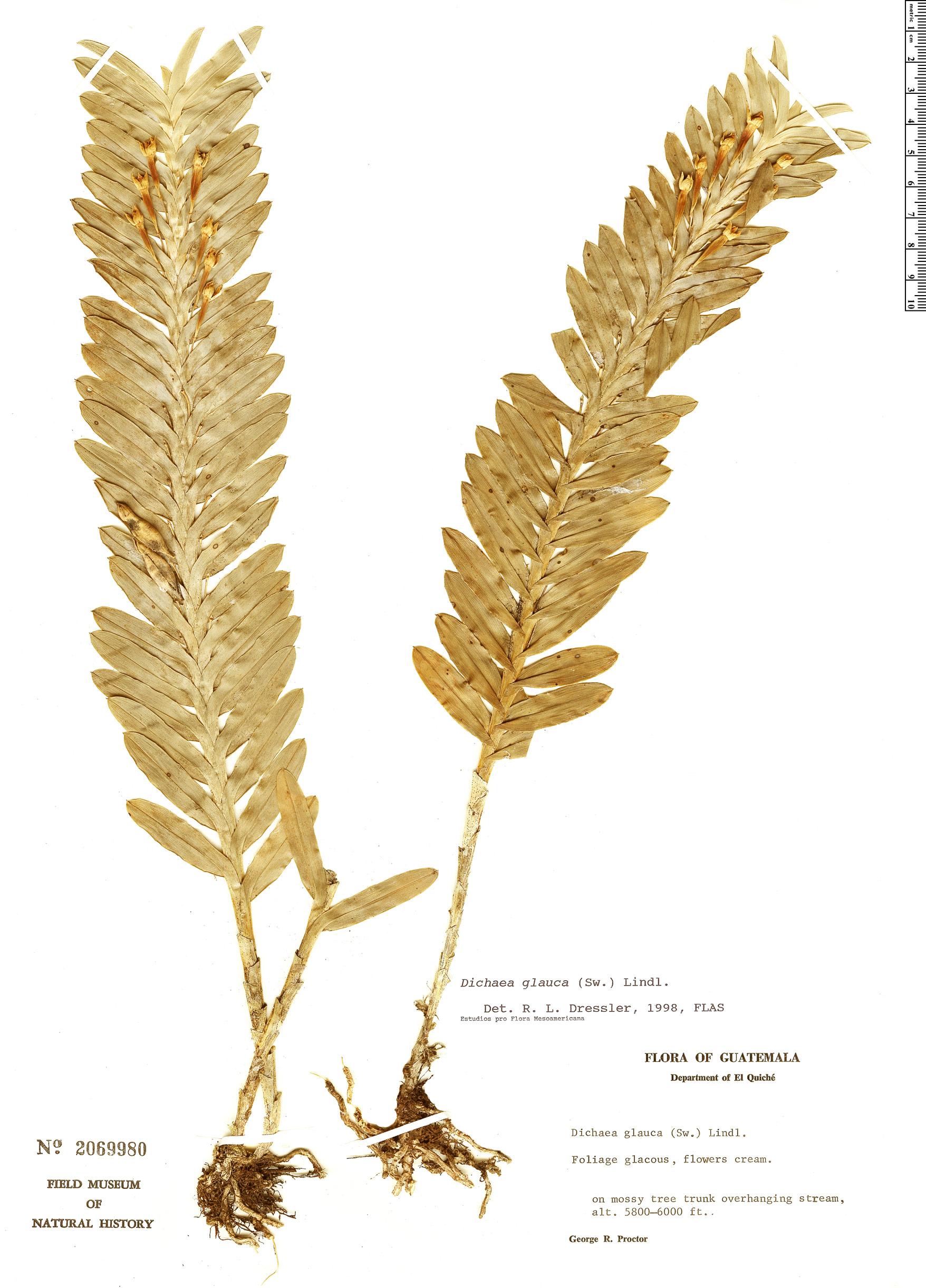 Specimen: Dichaea glauca